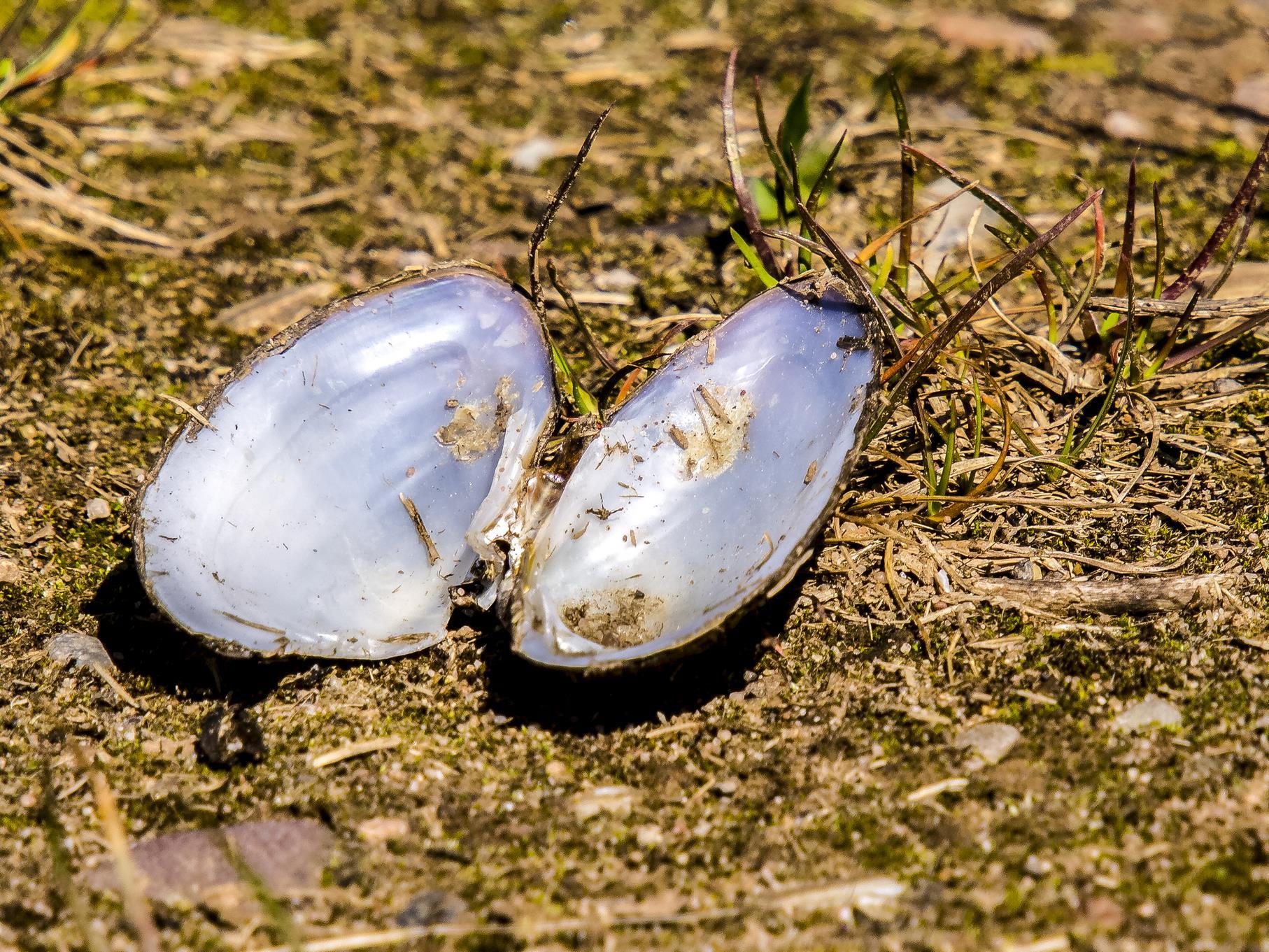 Die Teichmuschel-Schalen liegen überall auf den Wegen.