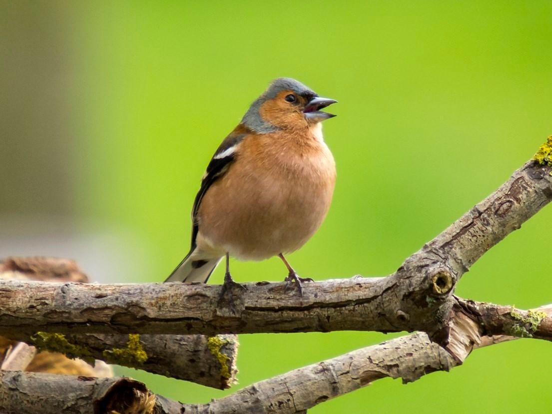 Singendes Männchen auf einem Ast. - Foto: Kathy Büscher