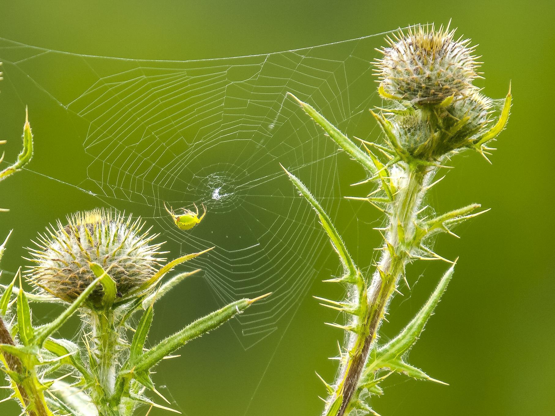Zwischen den Distelköpfen bauen Spinnen ihre Netze.