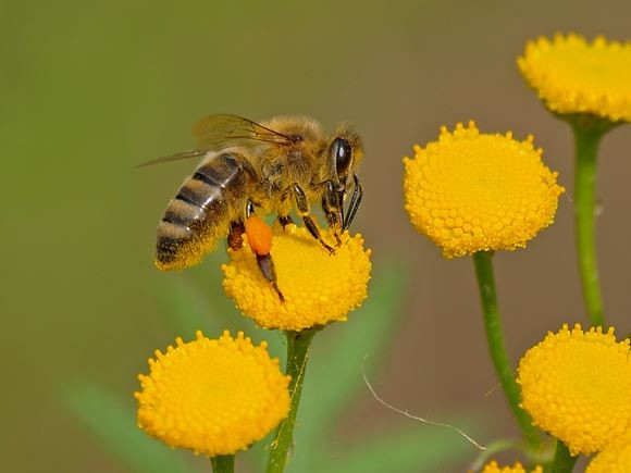 Auch Bienen haben das Gebiet für sich entdeckt. - Foto: Kathy Büscher