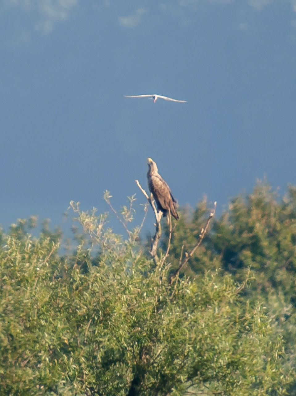 Der im Baum sitzende Seeadler beäugt eine vorüberfliegende Flussseeschwalbe. - Foto: Kathy Büscher