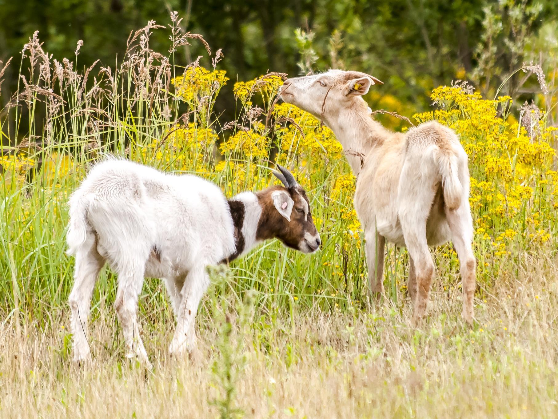 Die Ziegen machen sich über den Weidebewuchs her.