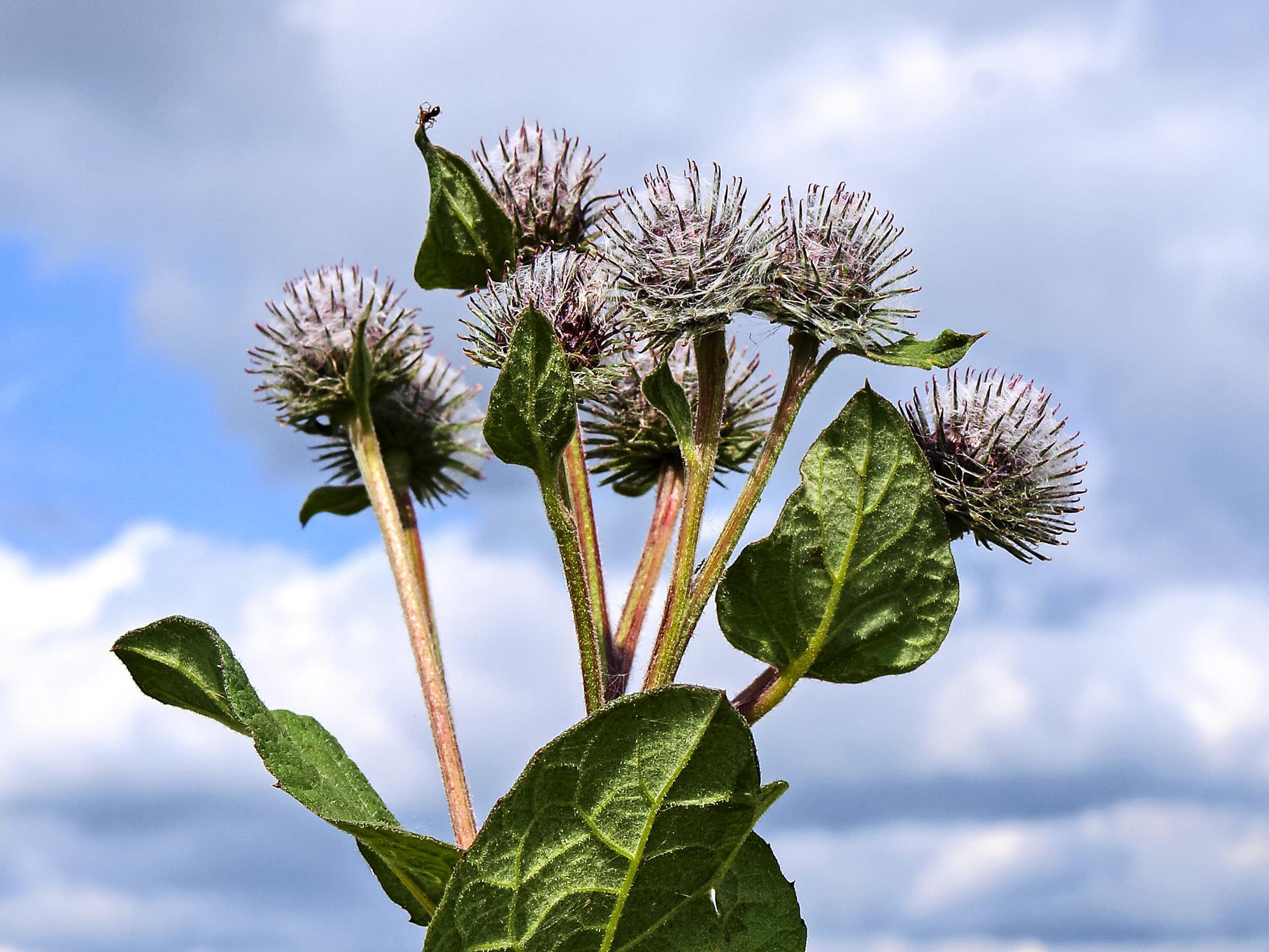 Blühende Disteln sind für Insekten eine wichtige Nahrungsquelle.