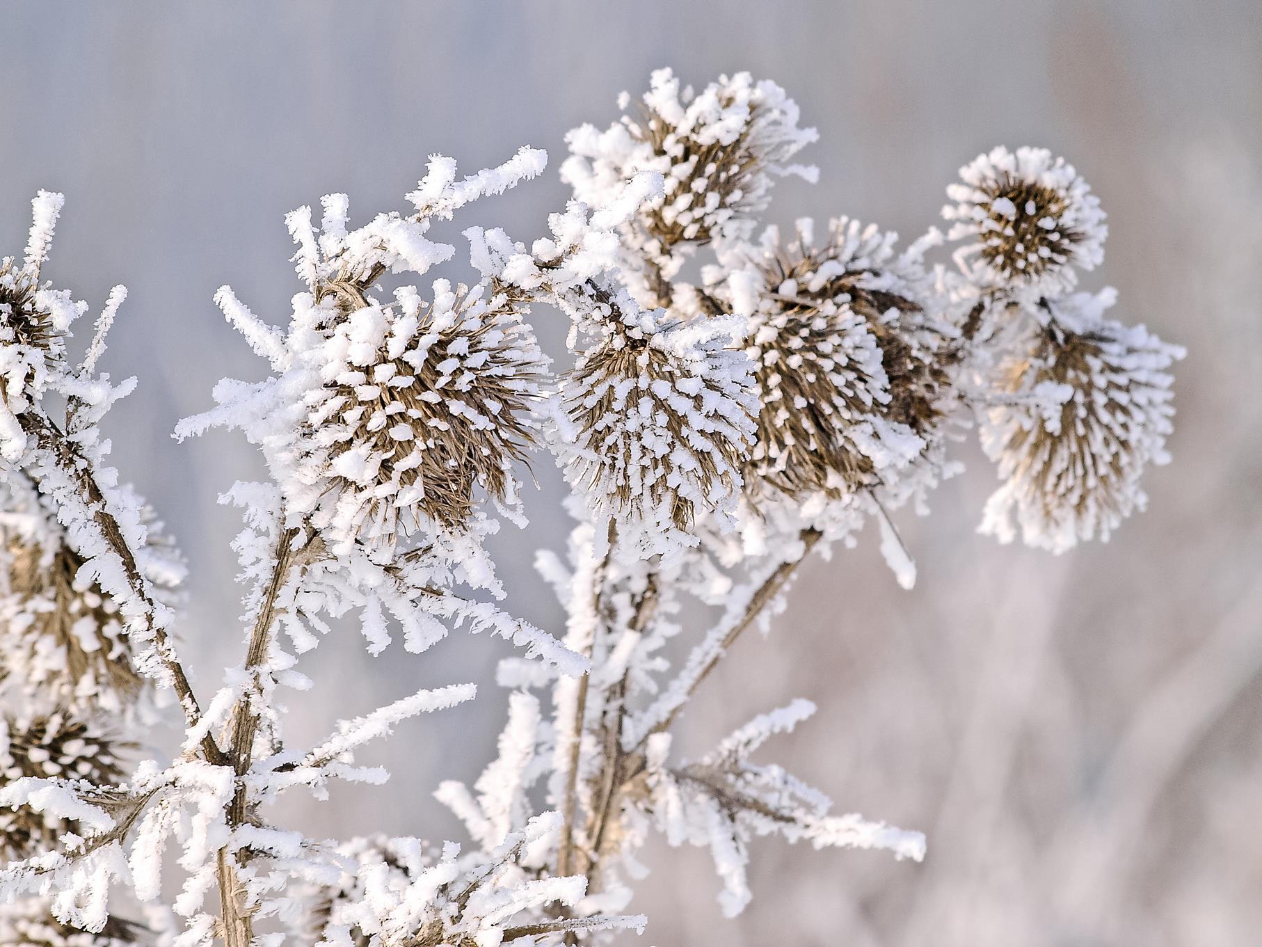 Verschneite Disteln im Januar.
