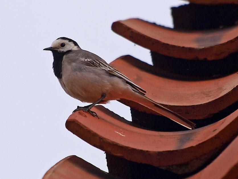 Eine Bachstelze auf einem Dach. - Foto: Kathy Büscher