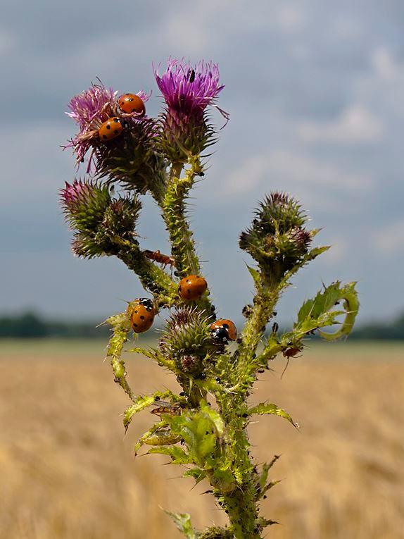 Disteln und andere Blühpflanzen locken Insekten an. - Foto: Kathy Büscher