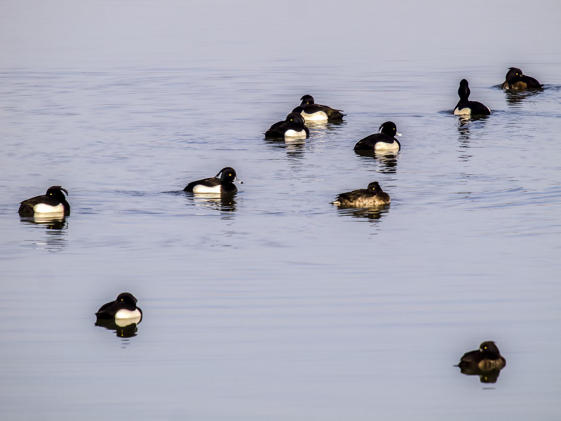 Eine Gruppe Reiherenten auf dem Wasser.