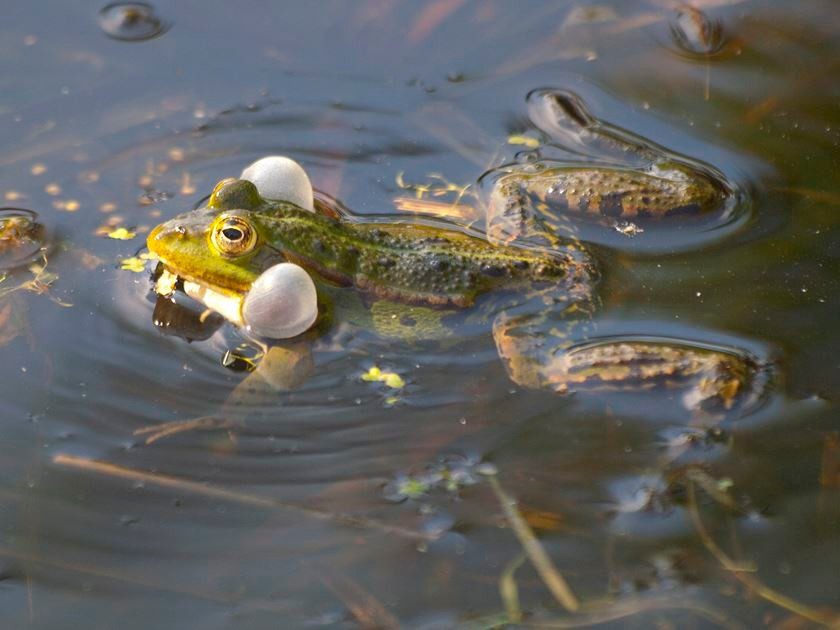 Ein rufender Frosch im Teich. - Foto: Kathy Büscher