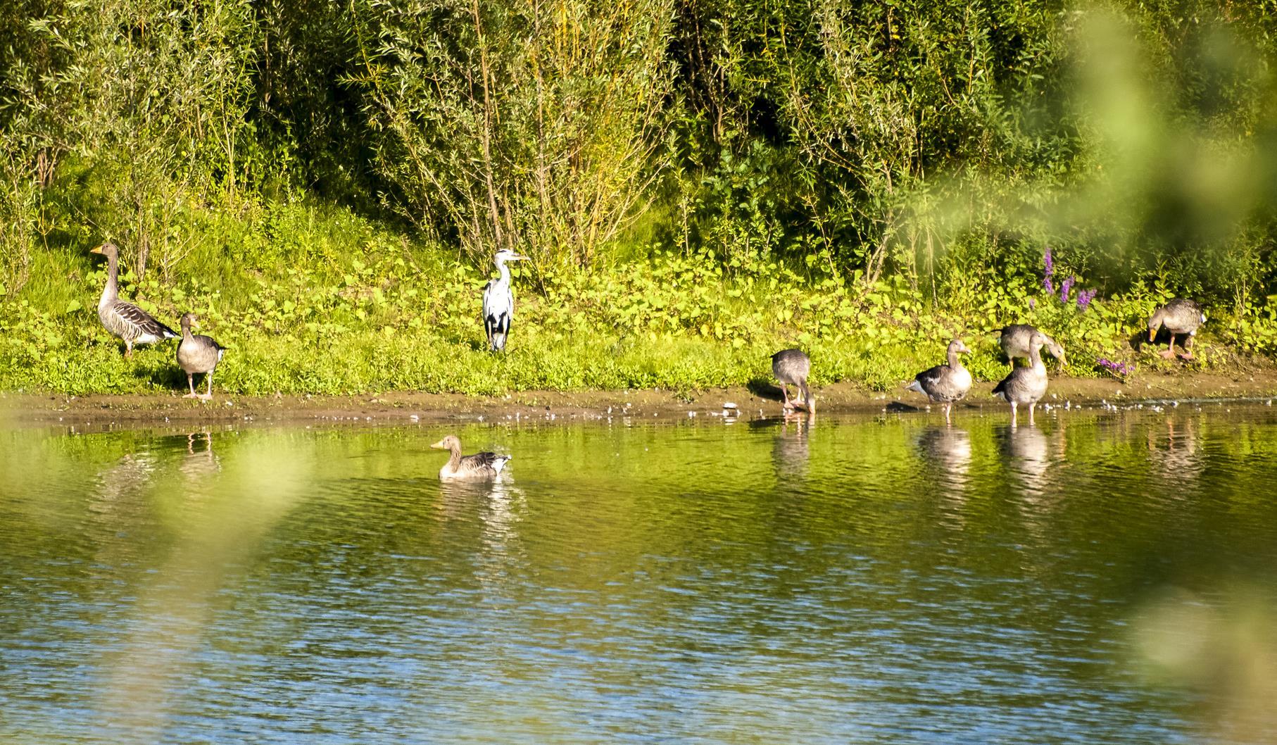 Am östlichen Teich sitzt ein Graureiher zwischen den Graugänsen.