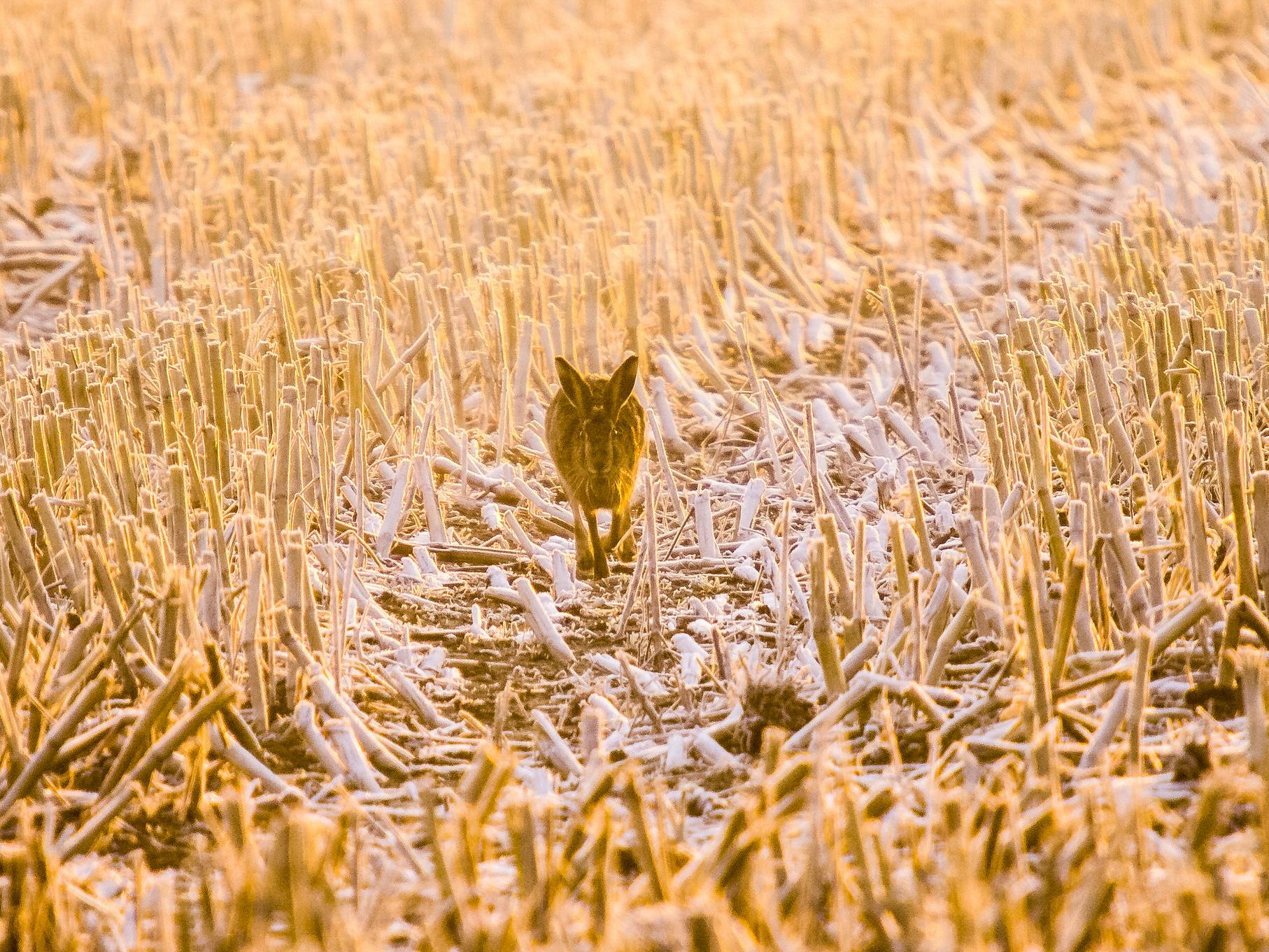 Ein Hase läuft morgens über ein abgeerntetes Feld am Rande der Auenlandschaft.