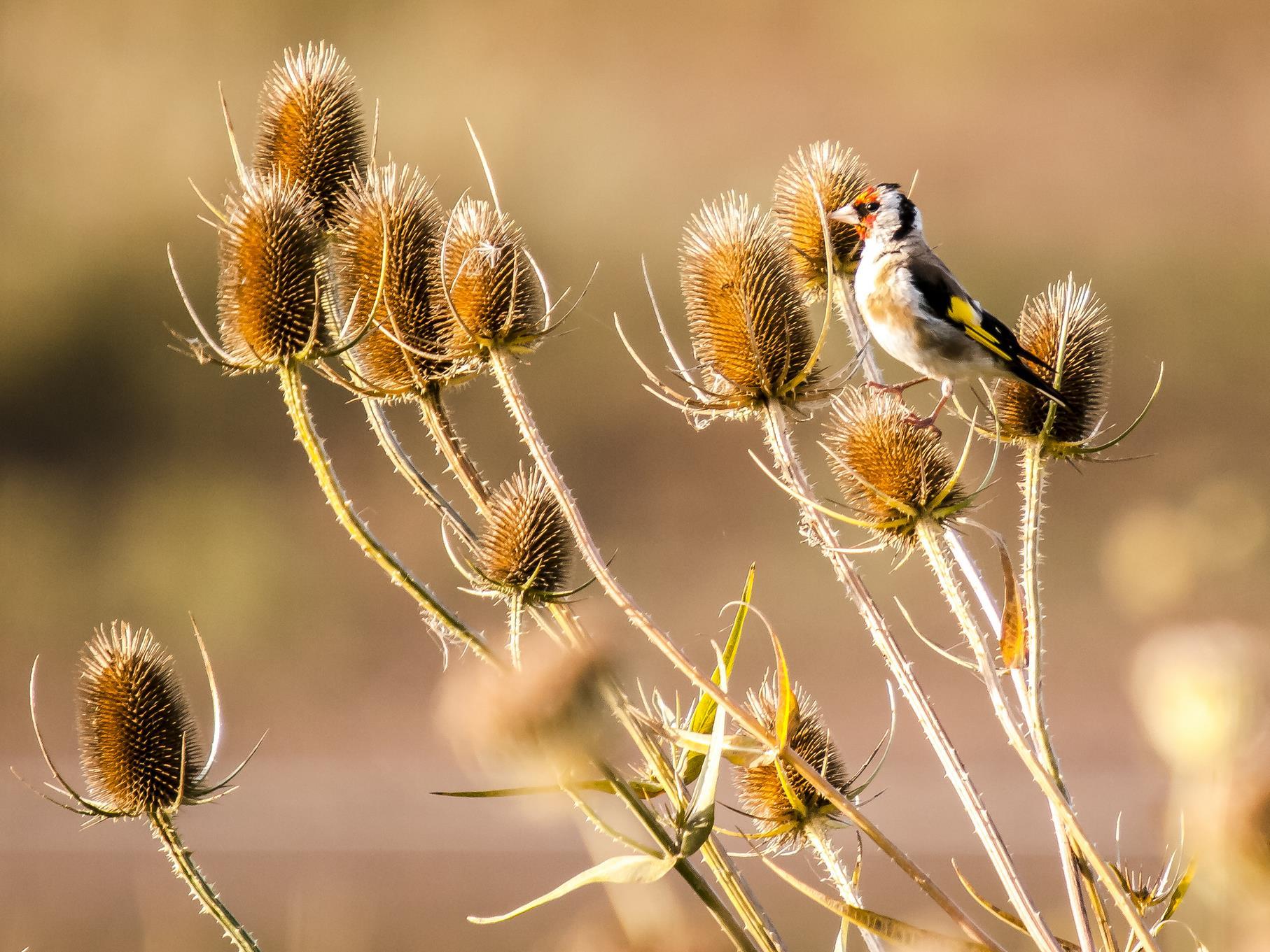Ein Stieglitz sucht die wilde Karde nach Samen ab.