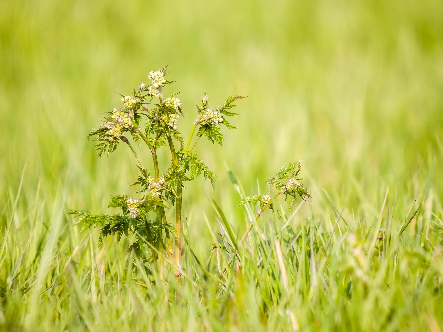 Eine heranwachsende Pflanze zwischen den Gräsern.
