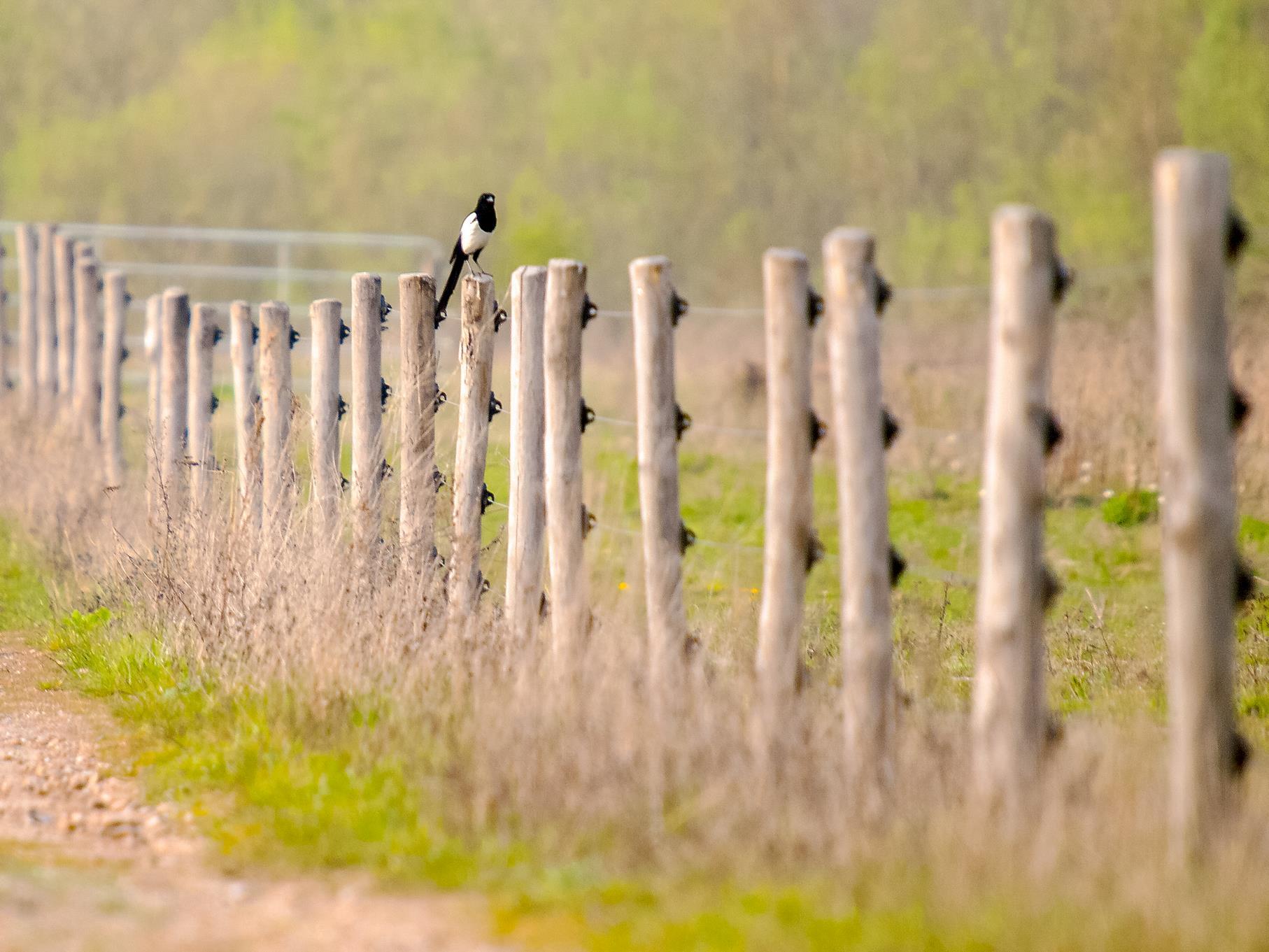 Eine Elster sitzt auf einem Zaunpfahl am Stichweg.