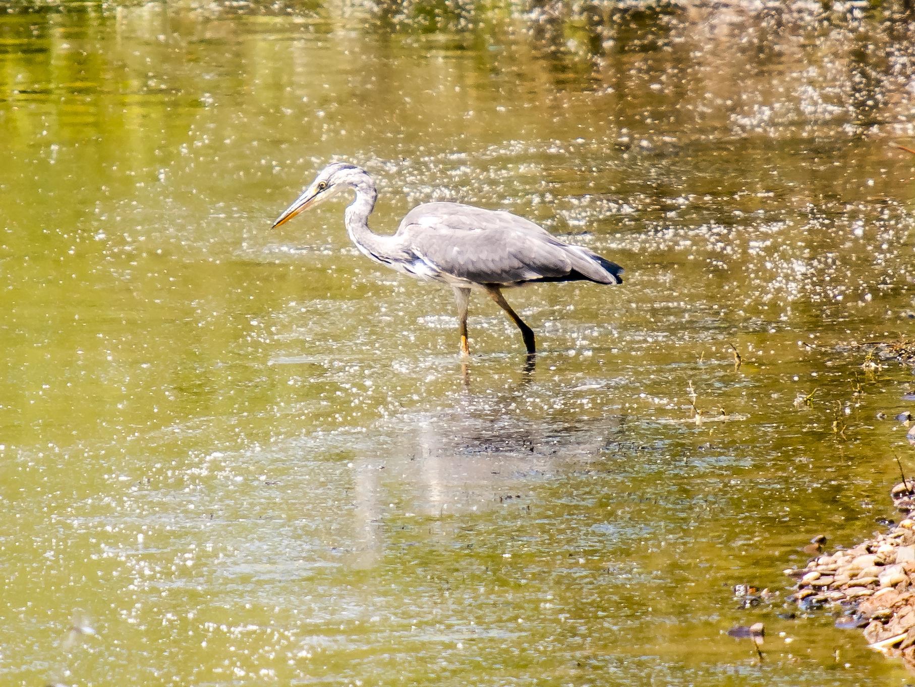 Bewegungslos steht der Graureiher auf der Suche nach Nahrung im Wasser.