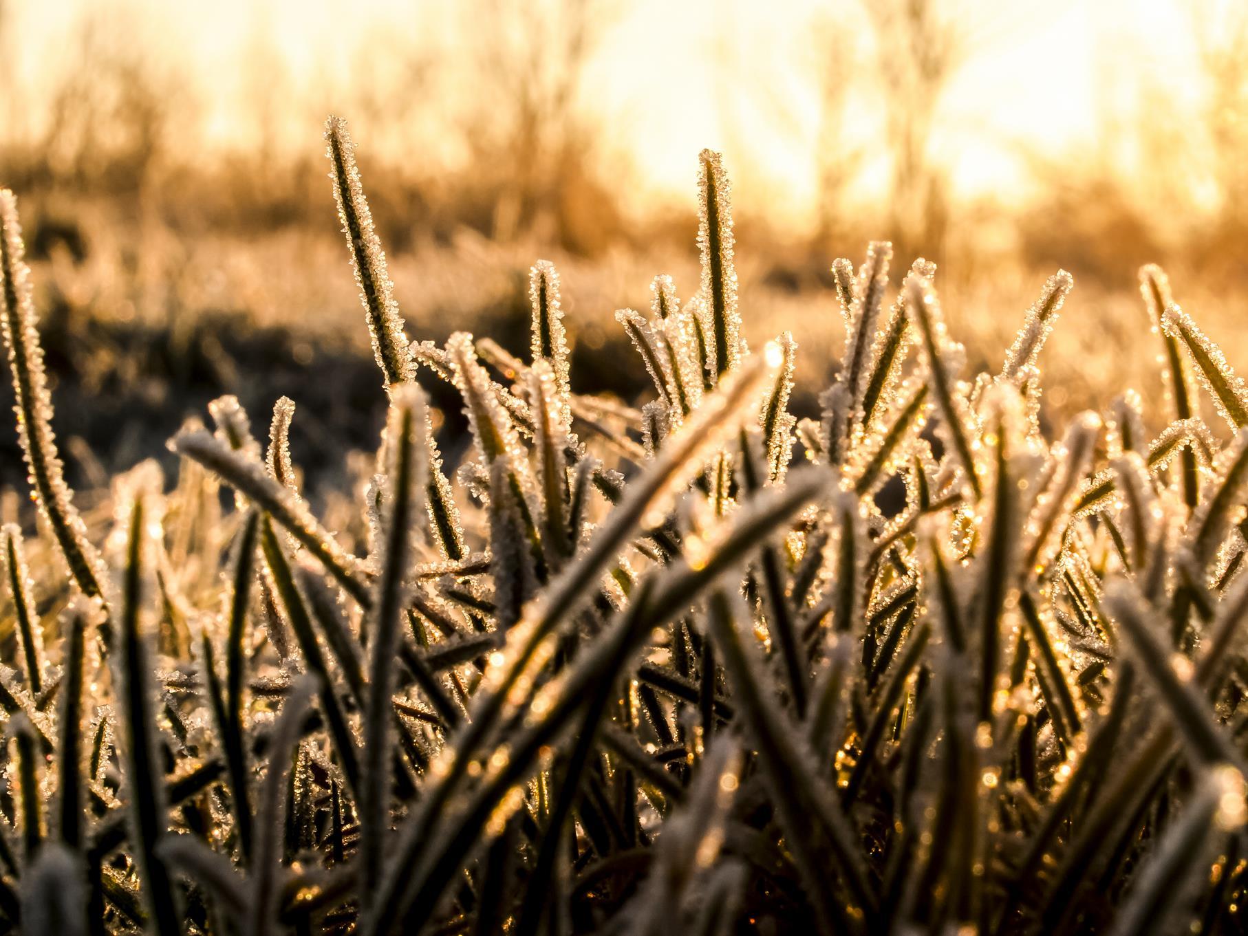 Gras mit Eiskristallen in der morgendlichen Februarsonne.