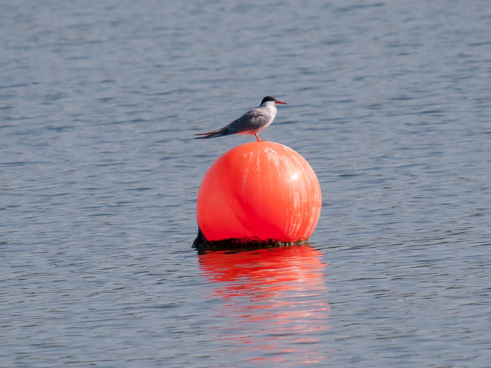 Flussseeschwalbe. - Foto: Kathy Büscher