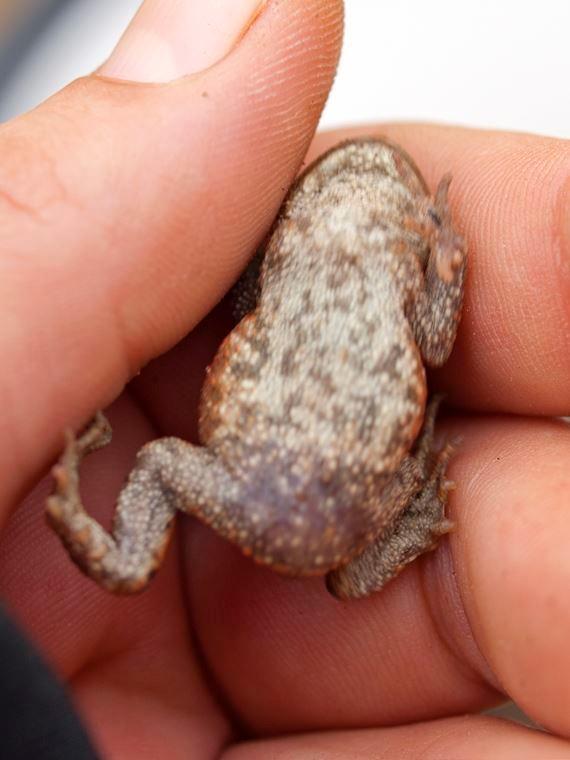 Unterseite einer Erdkröte. - Foto: Kathy Büscher