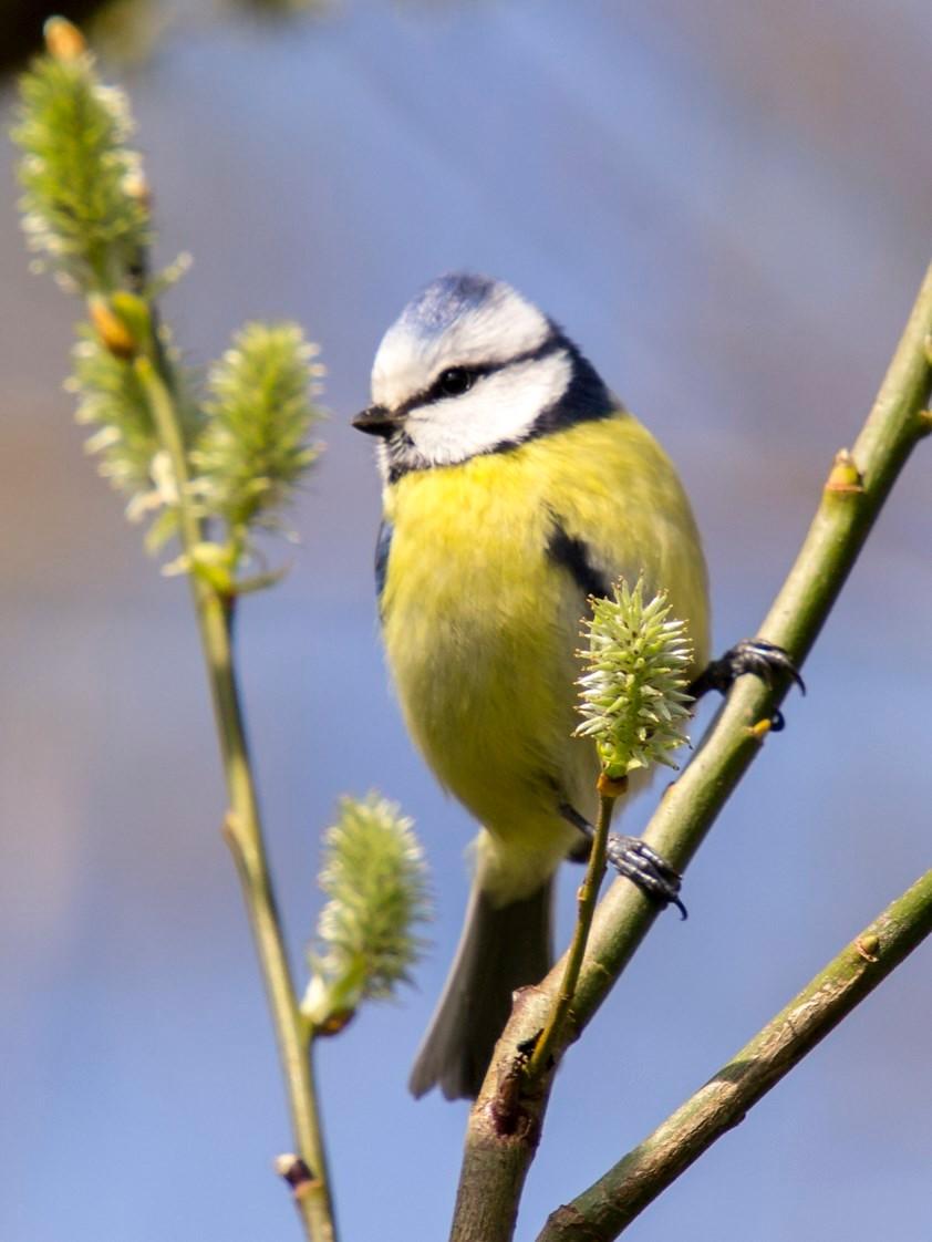 Oft kann man die Blaumeisen in Weidenbüschen beobachten. - Foto: Kathy Büscher