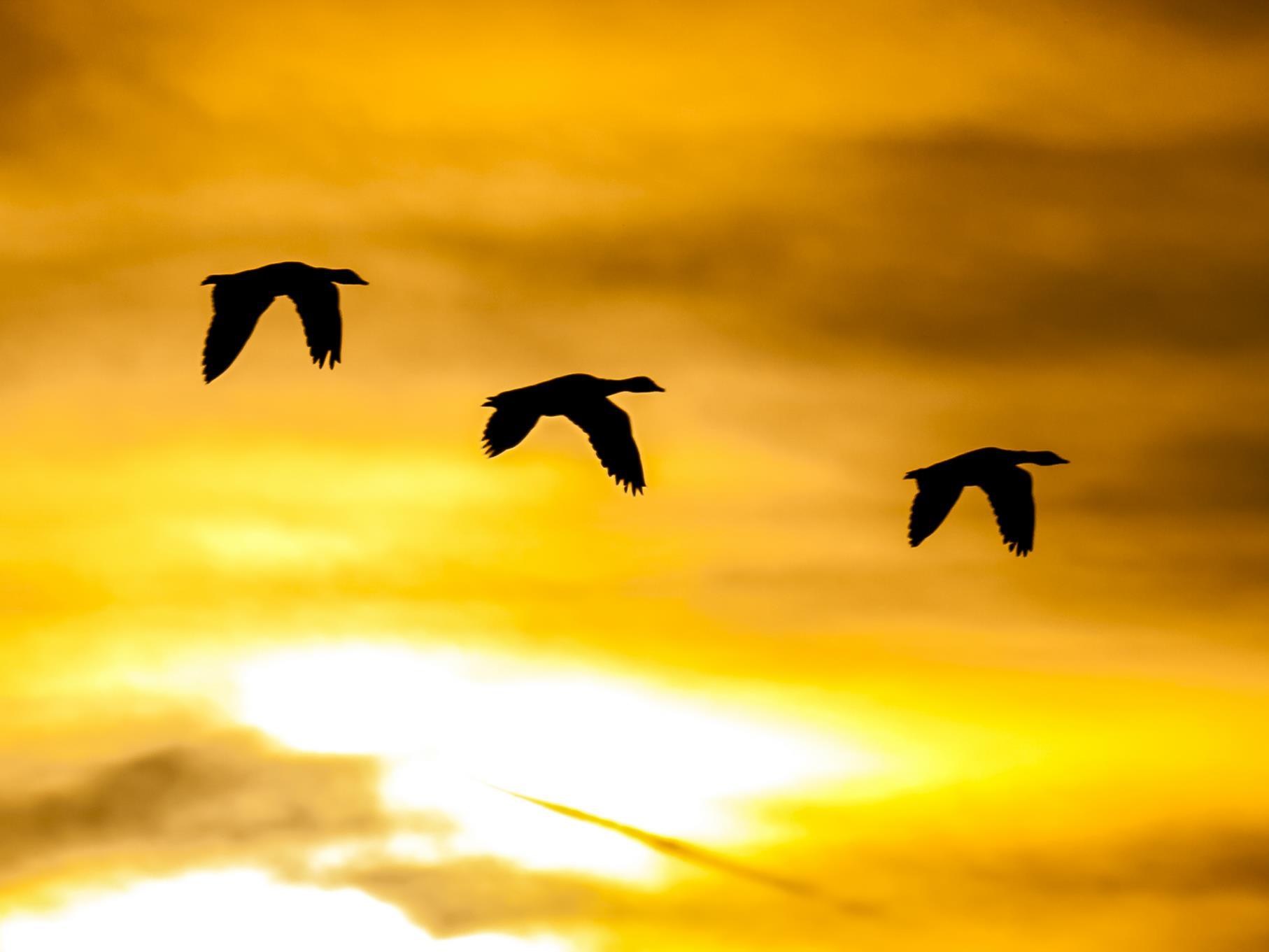 Fliegende Gänse am Morgenhimmel.