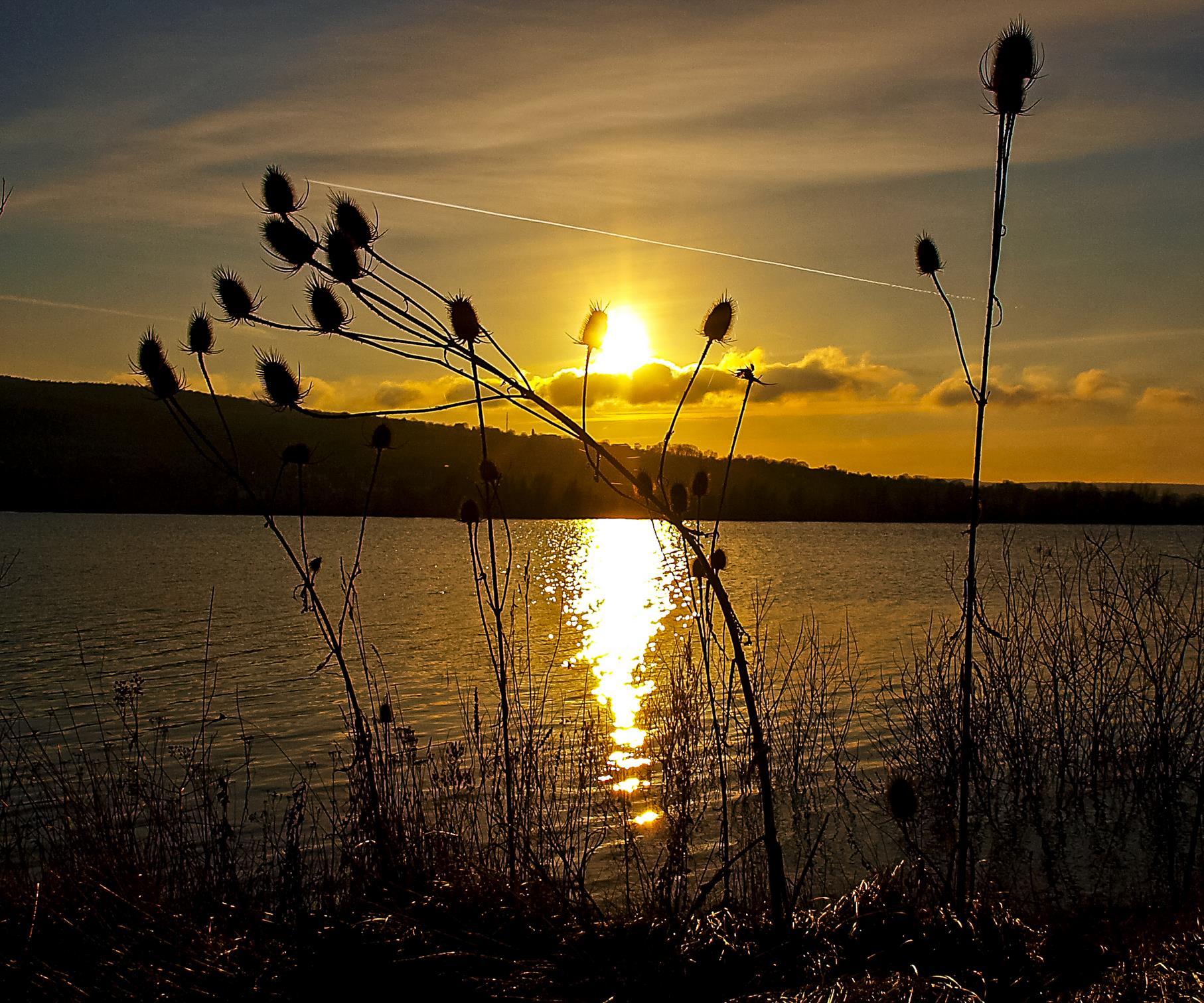 Am Ufer wachsende wilde Karde im Sonnenuntergang.