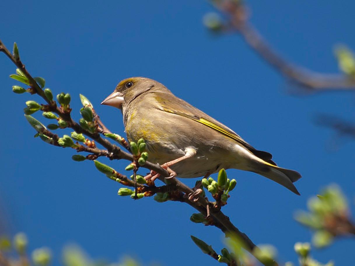 Ein Grünfinken-Männchen auf einem Ast. - Foto: Kathy Büscher