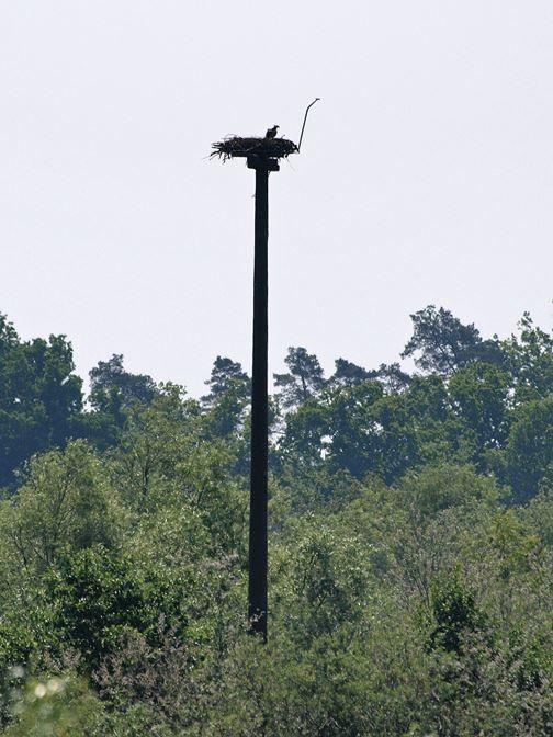 Der Fischadlerhorst mit Fischadler. - Foto: Kathy Büscher