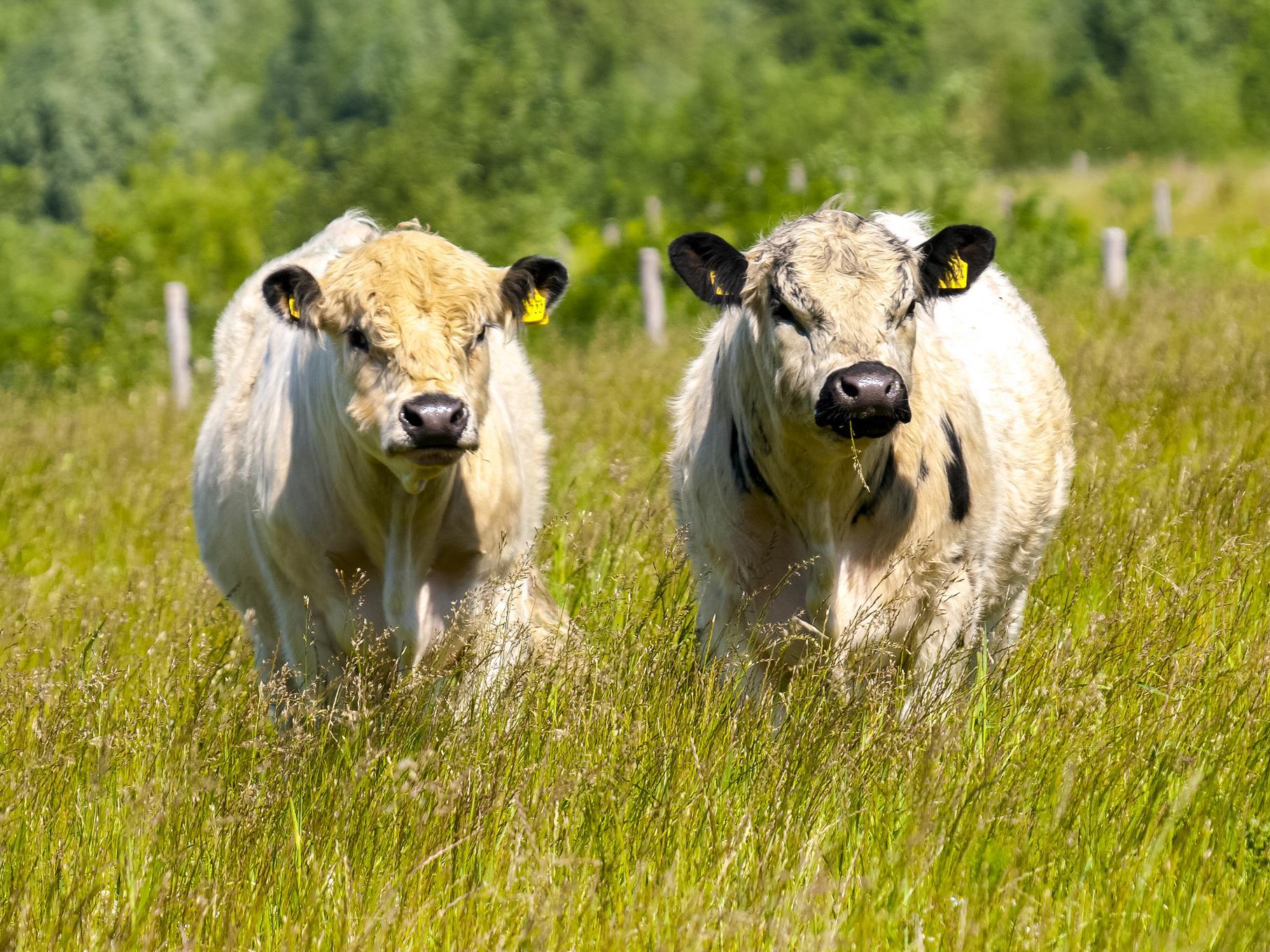 Im Mai werden die Galloways auf die Weide am Stichweg gelassen.