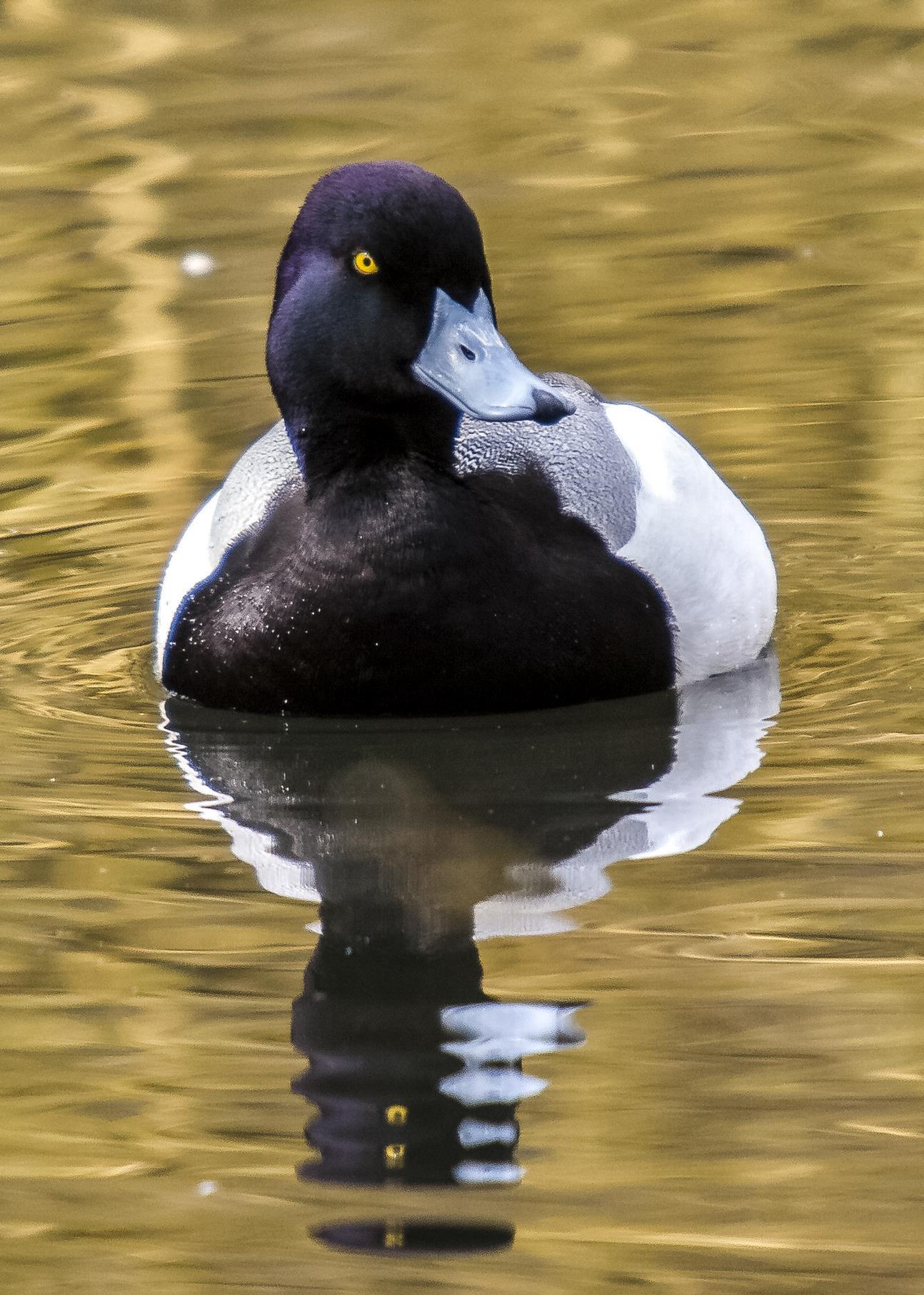 Auf den Wasserflächen schwimmen größere Gruppen von Reiherenten, hier ein Männchen.
