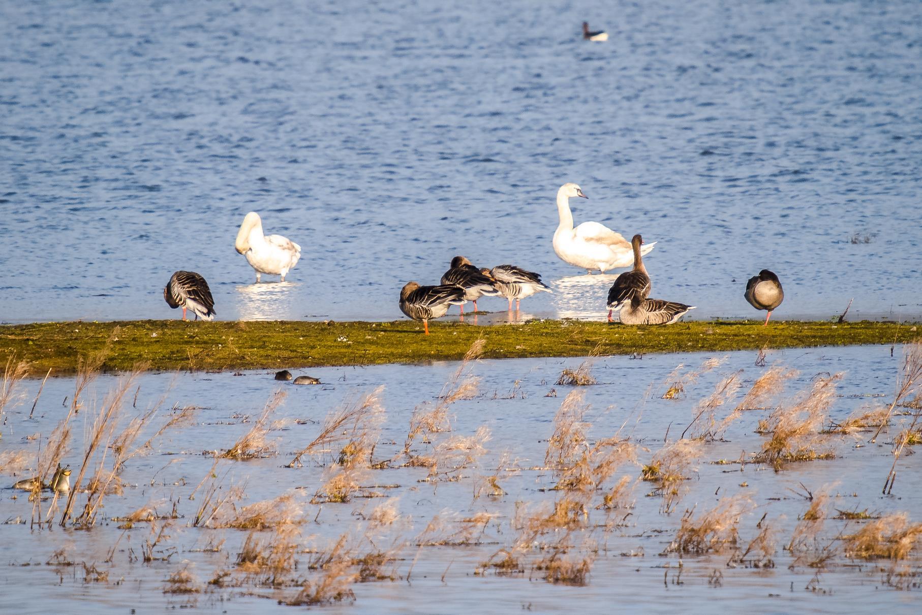 Graugänse und Höckerschwäne sitzen auf der größtenteils unter Wasser stehenden flachen Insel, welche sich vor der Vogelinsel befindet.