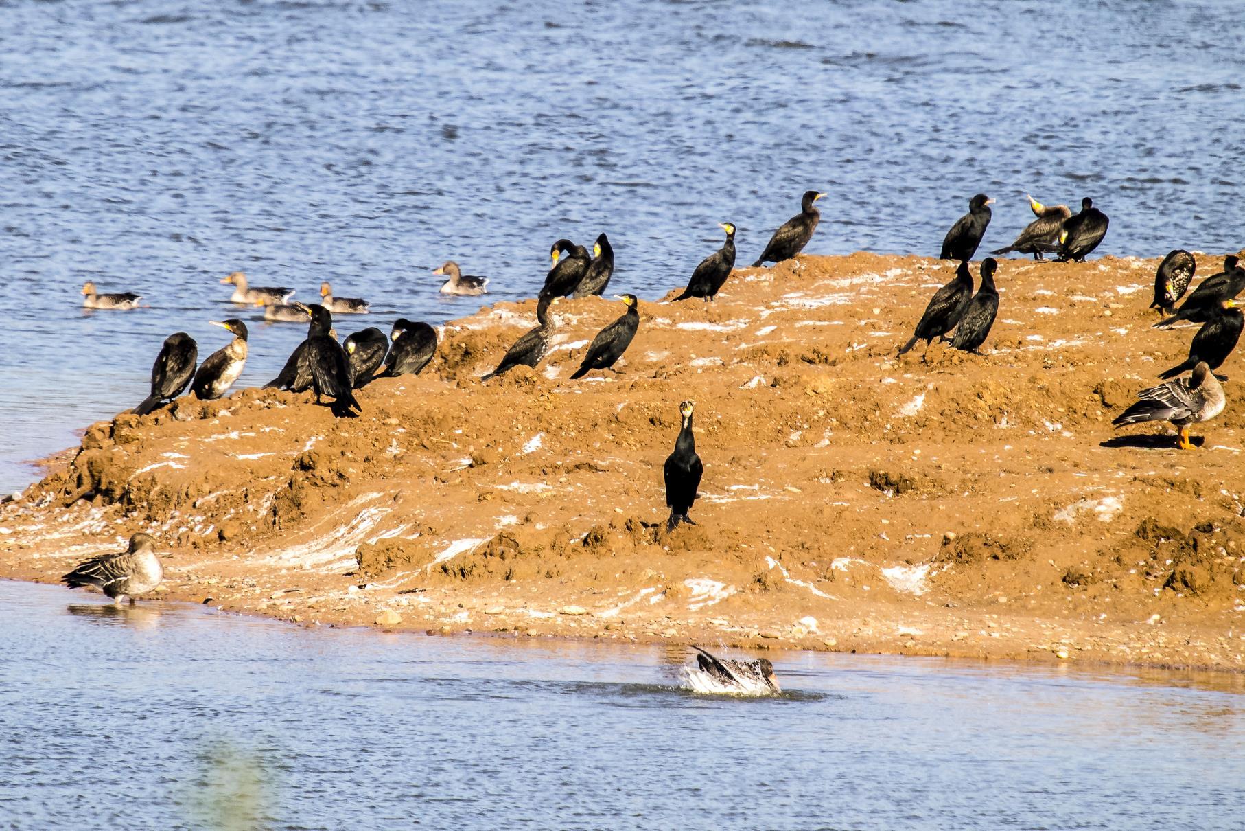 Eine Gruppe Kormorane hat sich auf der flachen Insel niedergelassen.