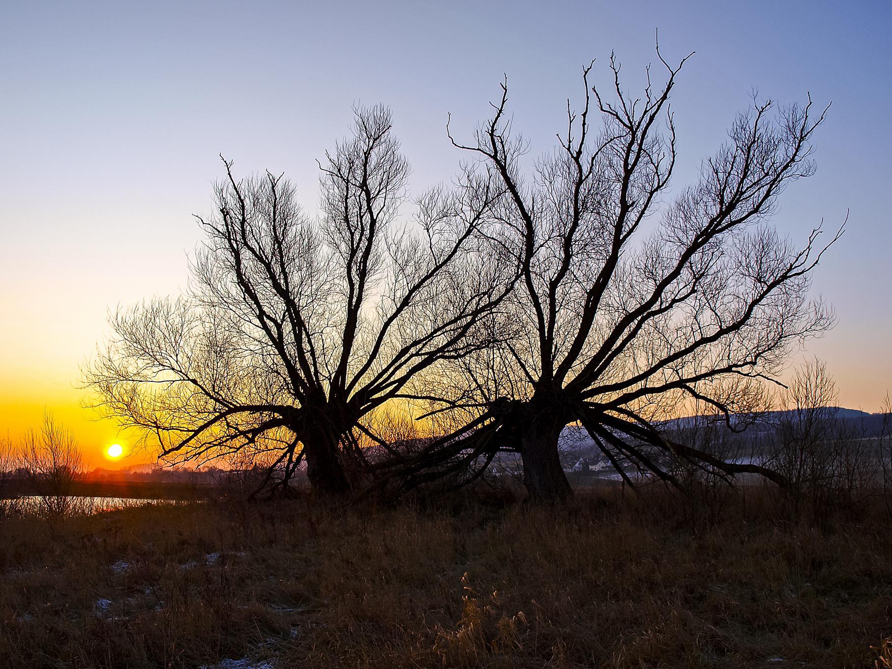 Die beiden großen, alten Kopfweiden am West-Teich in der Morgensonne.