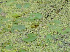 Ein gut getarnter Frosch im Wasser. - Foto: Britta Raabe
