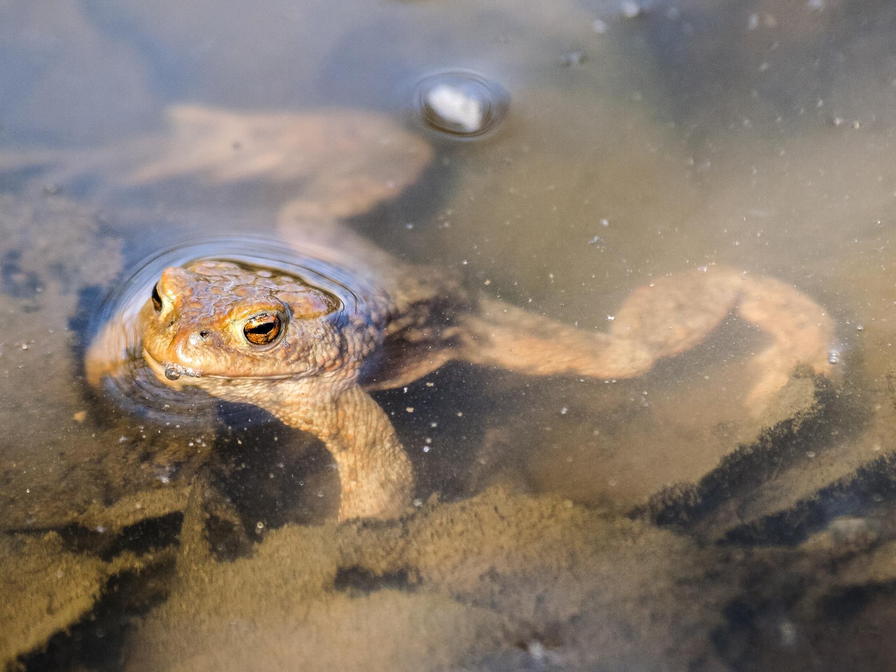 In den Flachwasserzonen tummeln sich viele Amphibien, wie z.B. Erdkröten.