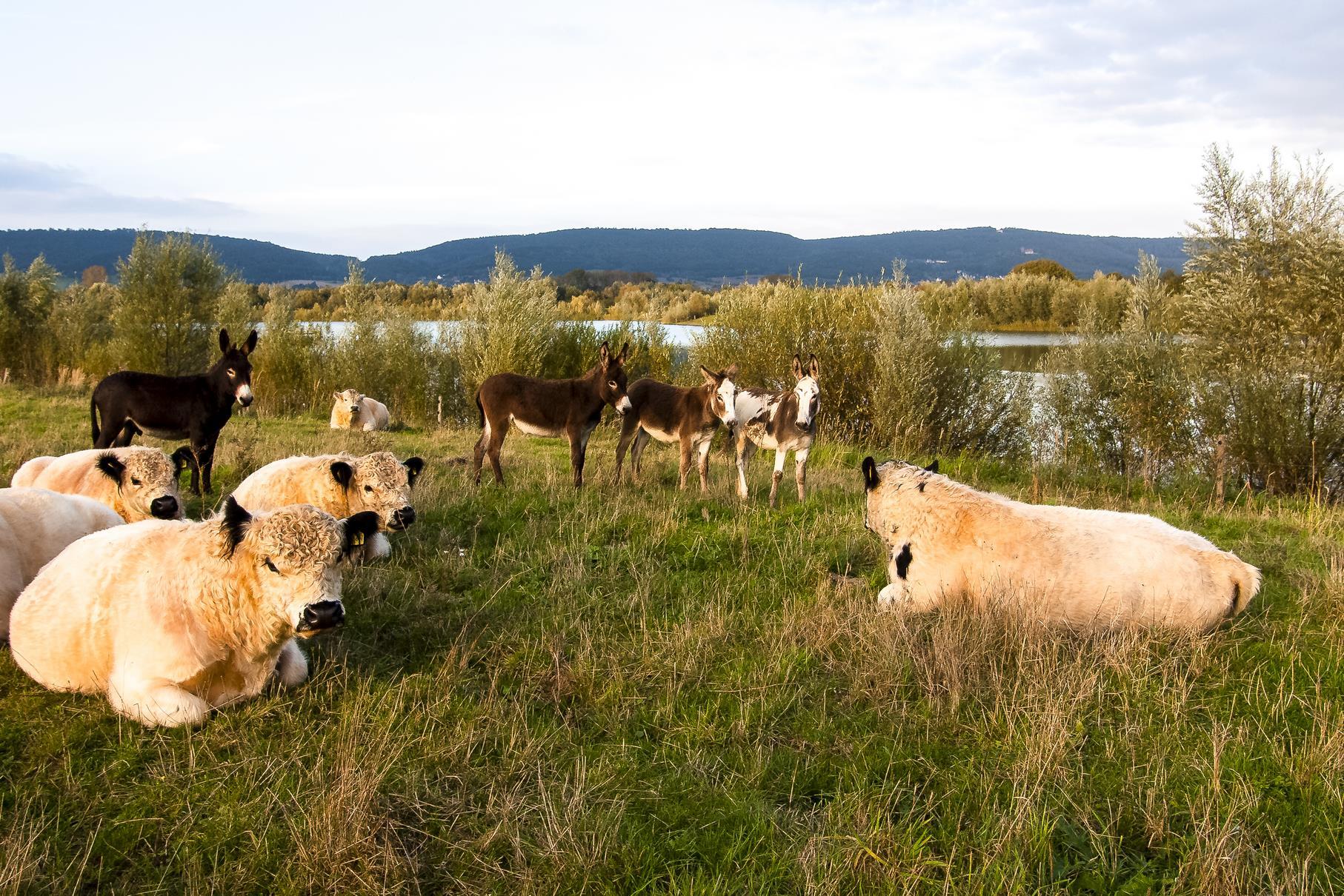 Die Galloways und Esel auf der Weide am Stichweg.