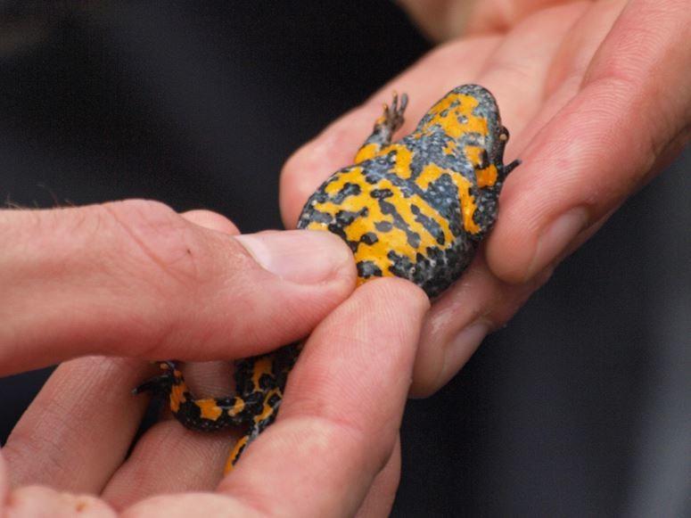 Die Unterseite einer Gelbbauchunke. - Foto: Kathy Büscher