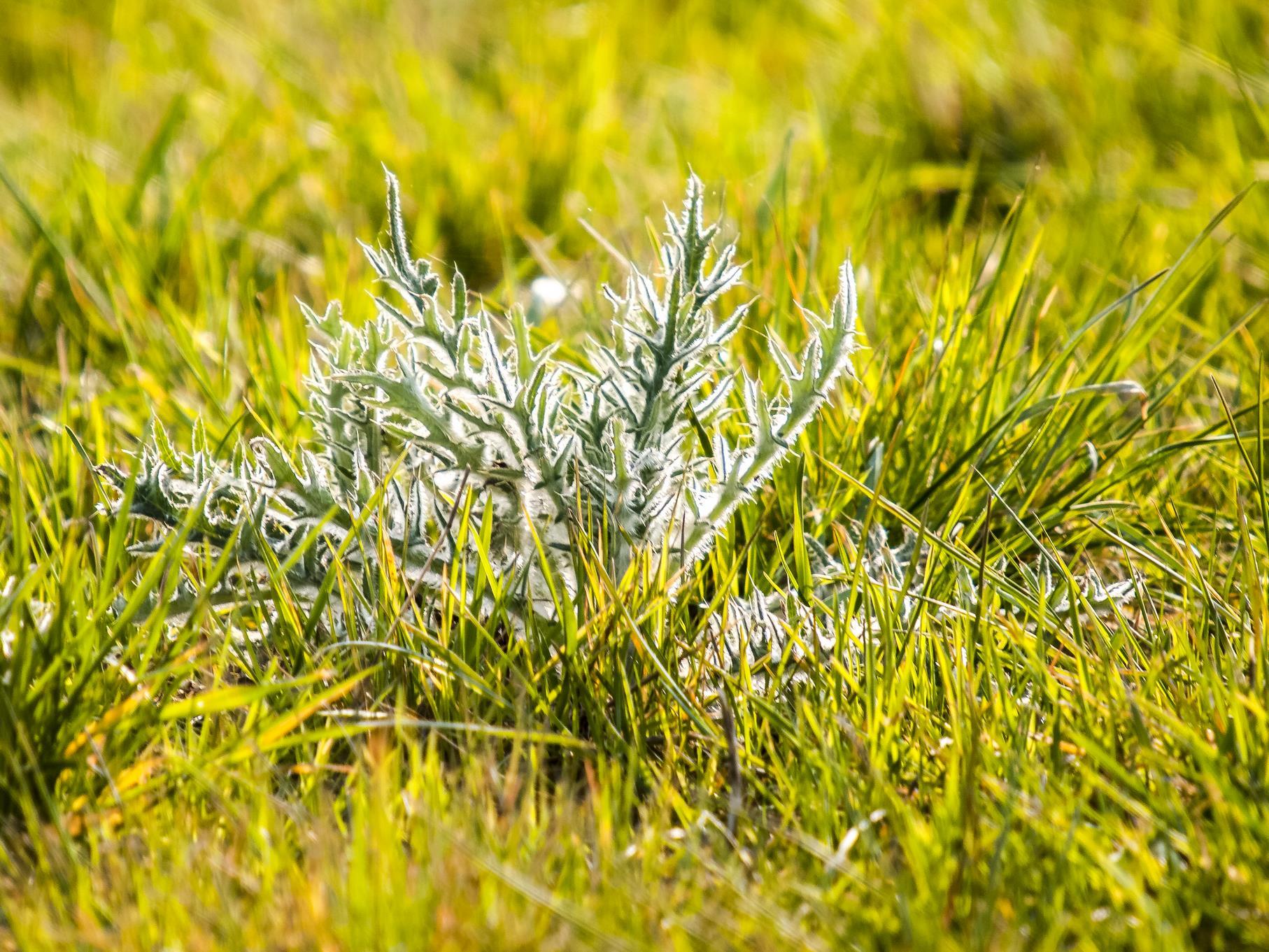 Die ersten Blühpflanzen haben im April bereits Rosetten gebildet.
