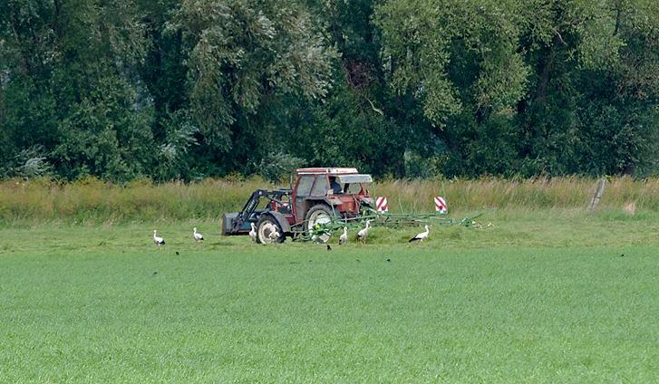 """Die Trecker werden von Weißstörchen nahezu """"belagert"""". - Foto: Kathy Büscher"""
