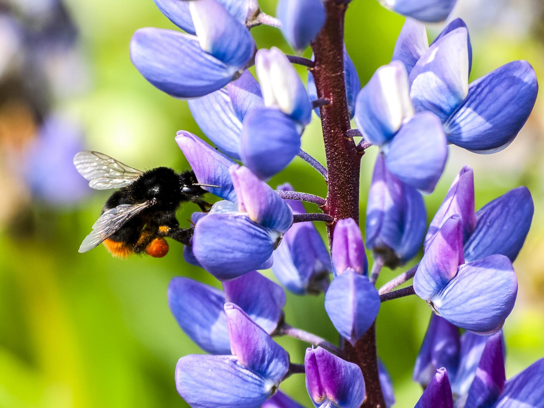 Hummeln sammeln oft Pollen an Lupinen.