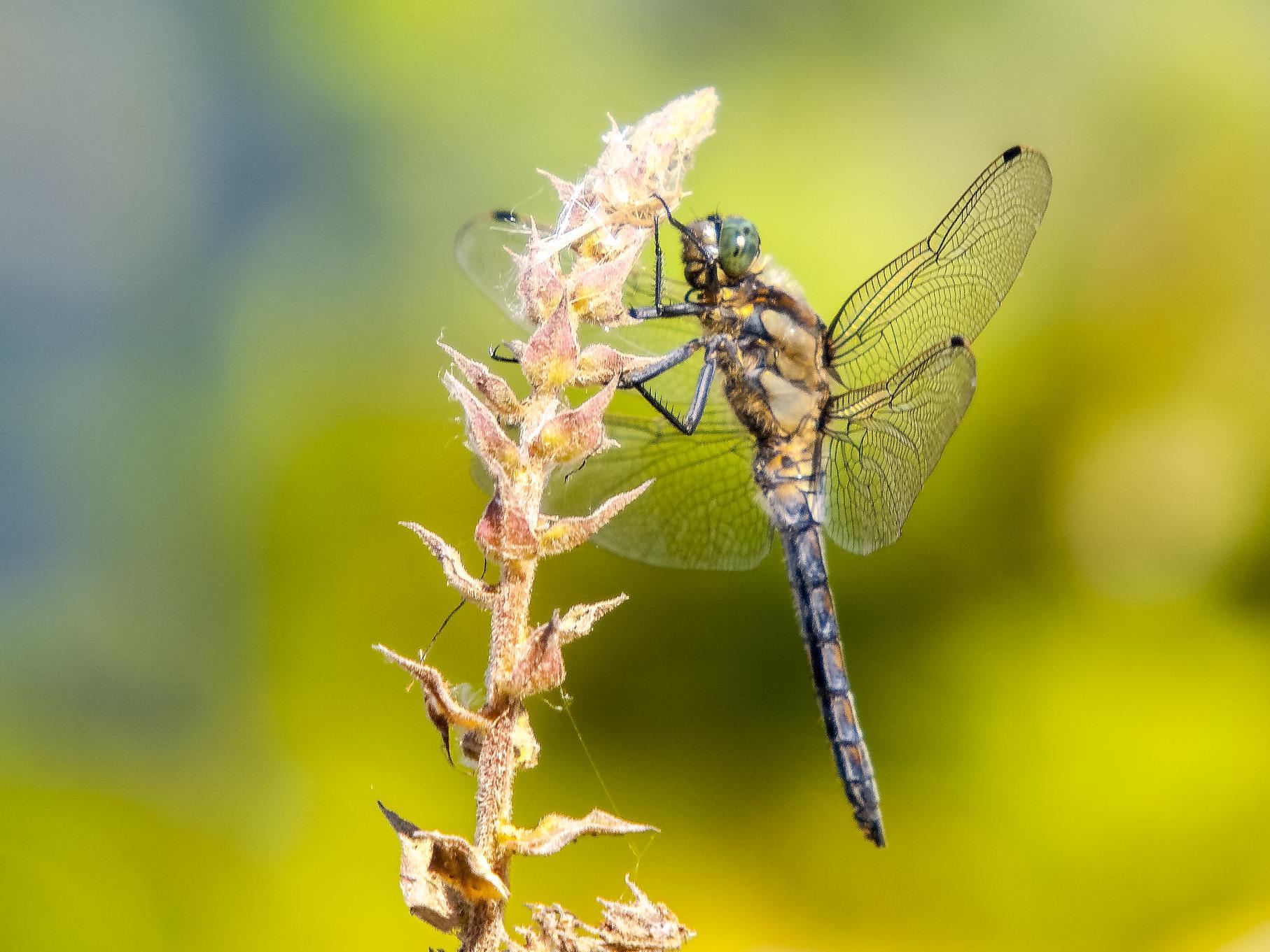 Eine Blaupfeil-Libelle hängt an einer Pflanze.