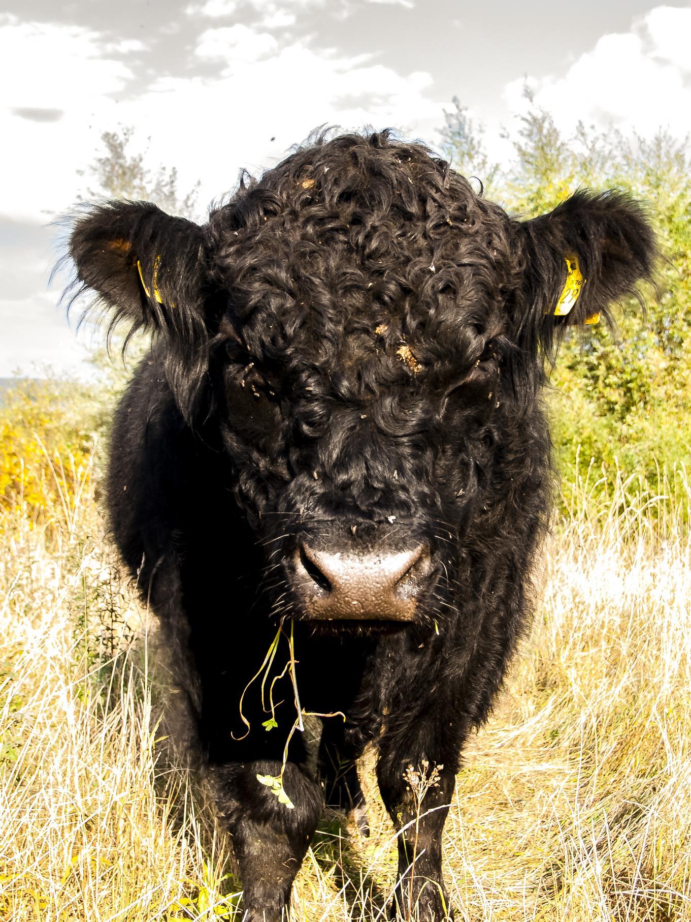 Dieses Galloway-Rind hat sich gerade das Gras schmecken lassen.