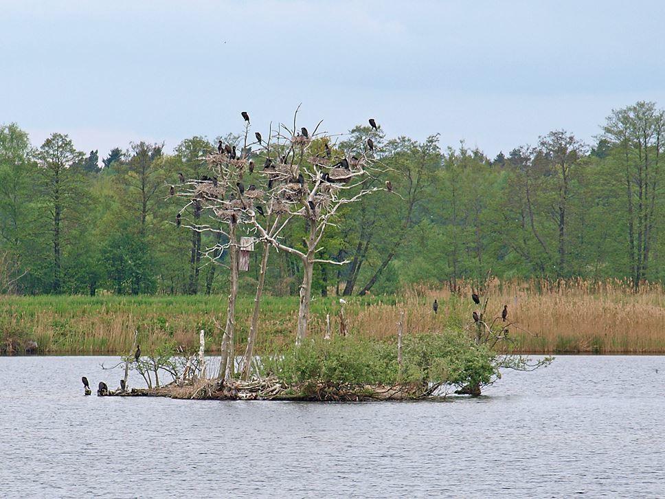 Eine Kormoran-Insel an den Meißendorfer Teichen. - Foto: Kathy Büscher