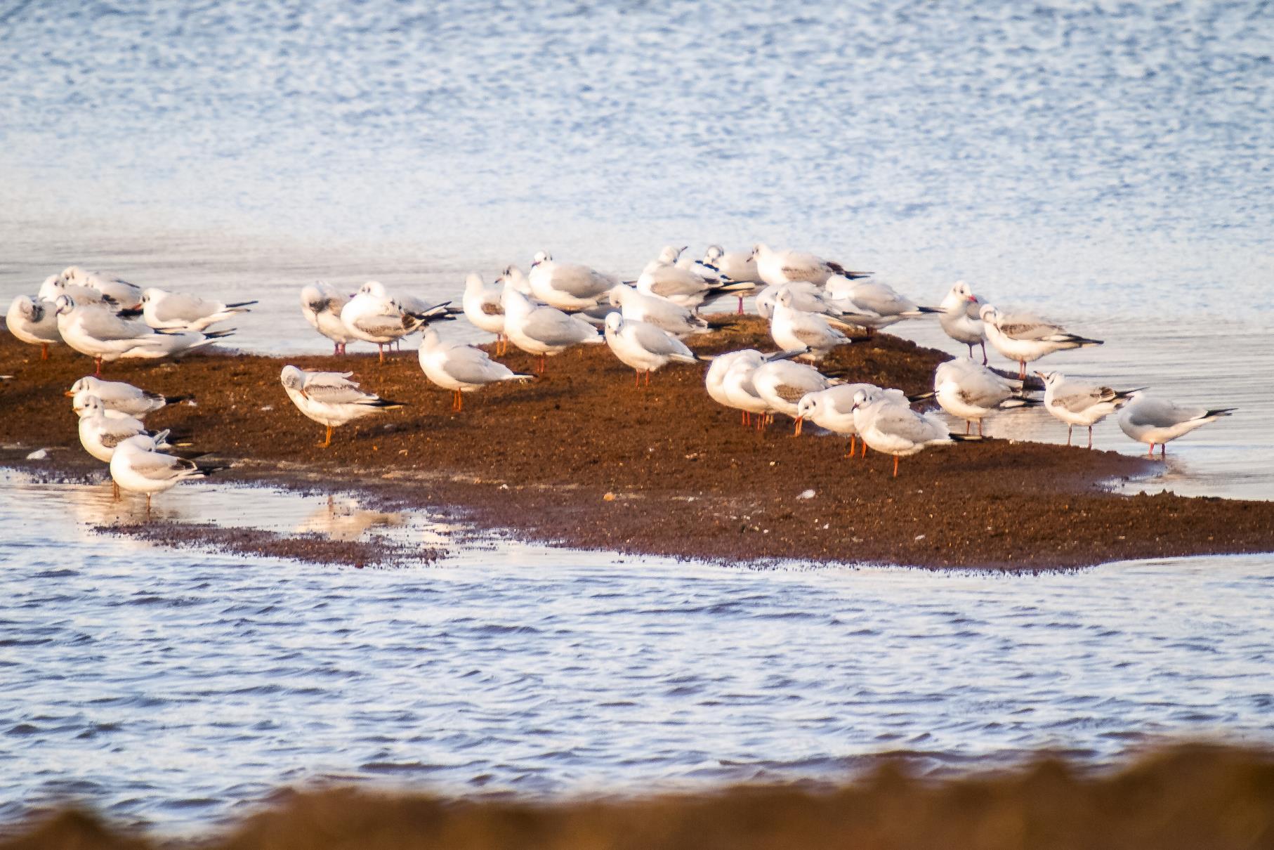 Eine Gruppe Lachmöwen sitzt am frisch abgebaggerten Ufer des westlichen Teiches.