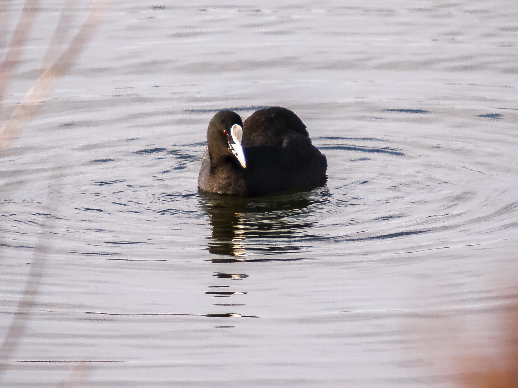 Ein Blässhuhn sucht Nahrung auf dem Wasser.