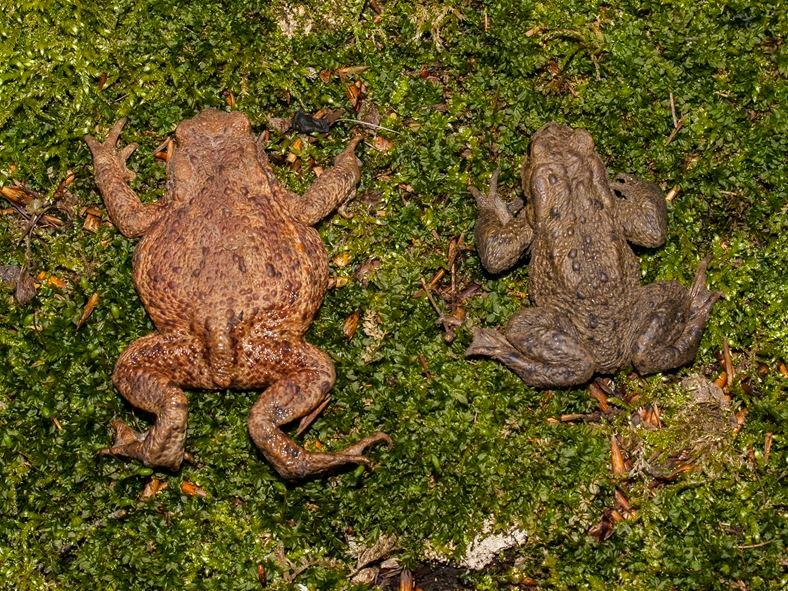 Zwei Erdkröten von oben: Links das Weibchen, rechts das Männchen. - Foto: Kathy Büscher