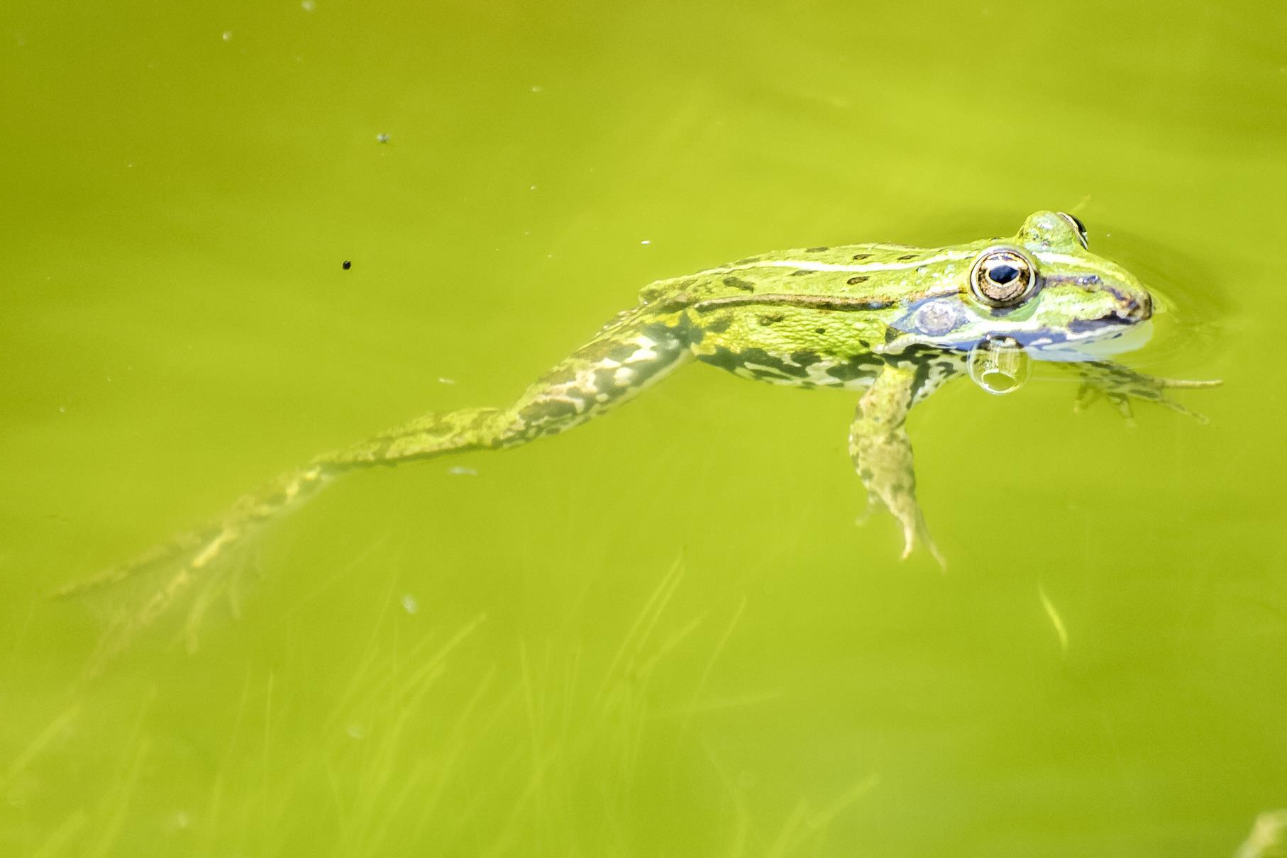 Ein Teichfrosch wärmt sich an der Wasseroberfläche. Alle Bilder: Kathy Büscher.