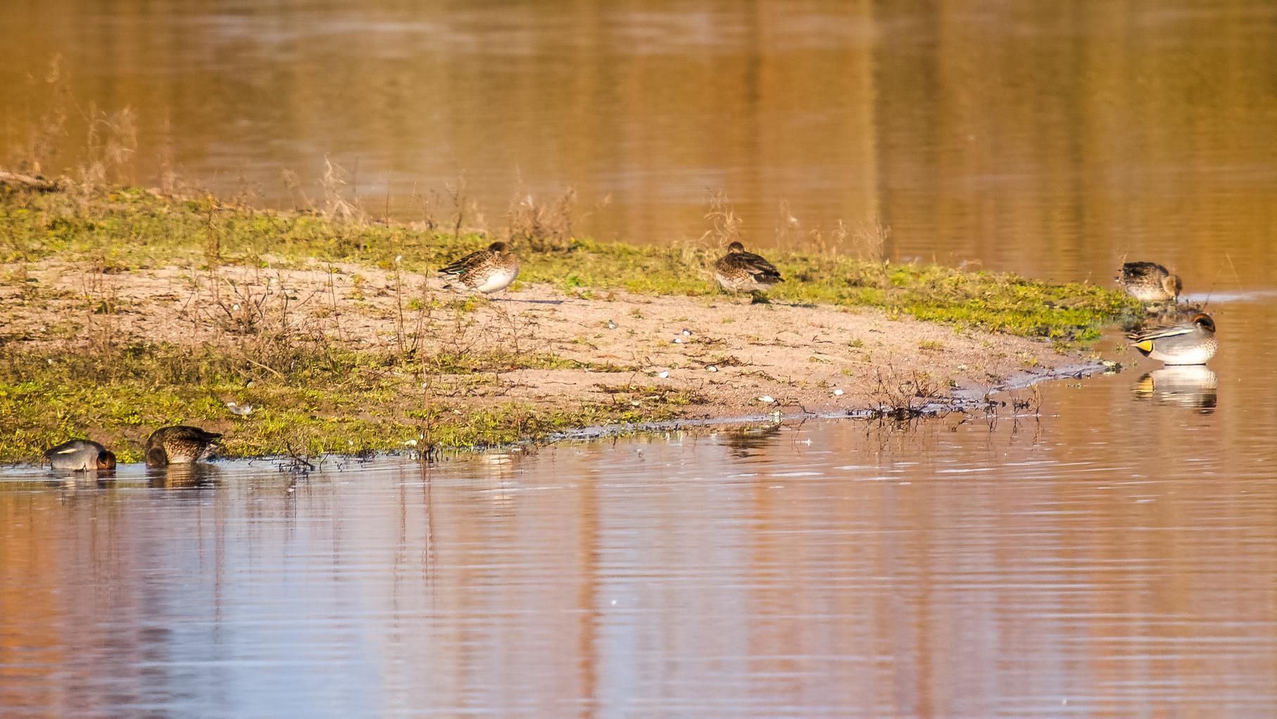 Krickenten können im Winter in Bereichen mit Flachwasserzonen beobachtet werden.
