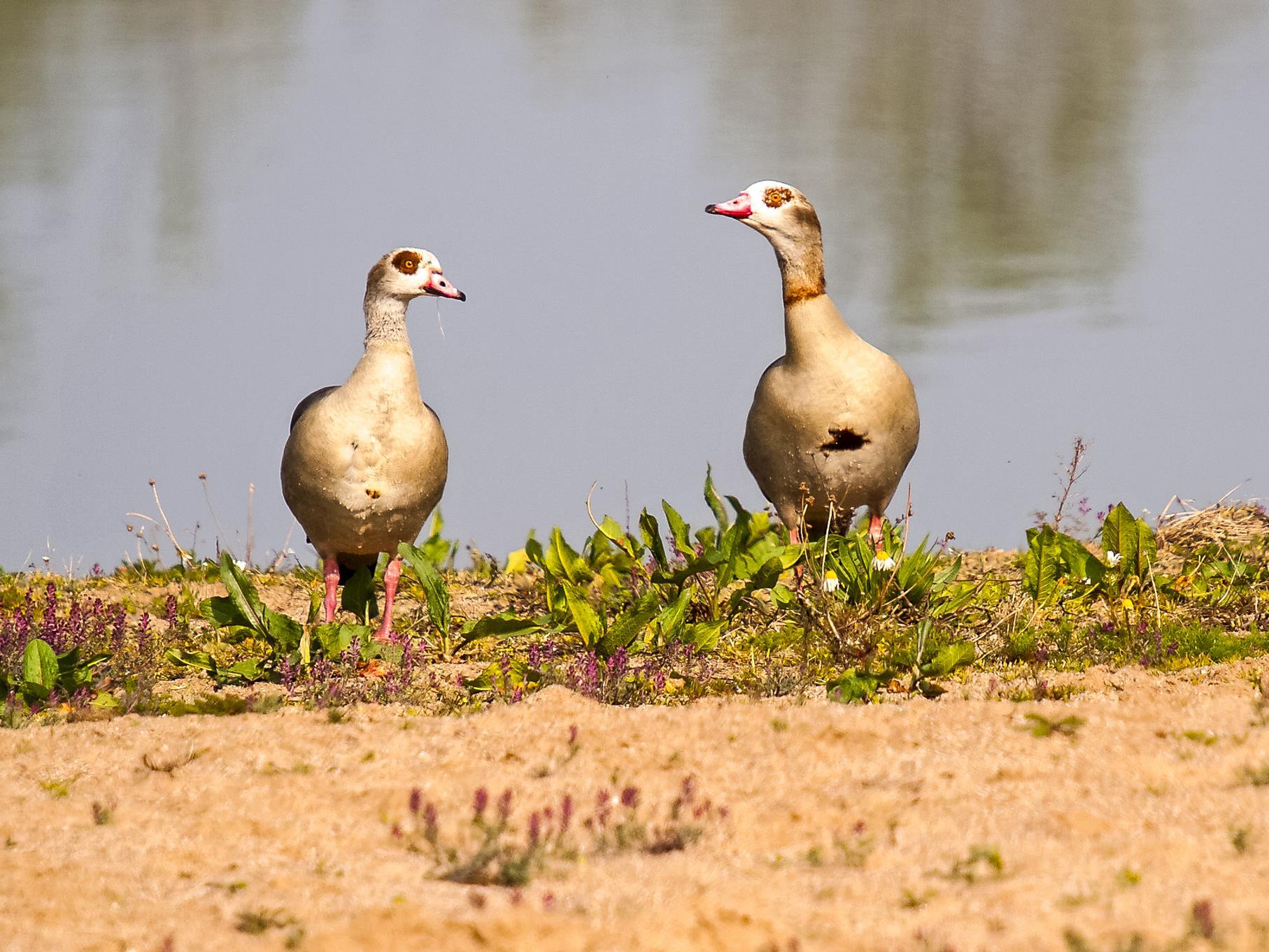 Zwei Nilgänse sitzen am Ufer des Badestrandes, der zum mittleren Teich gehört.