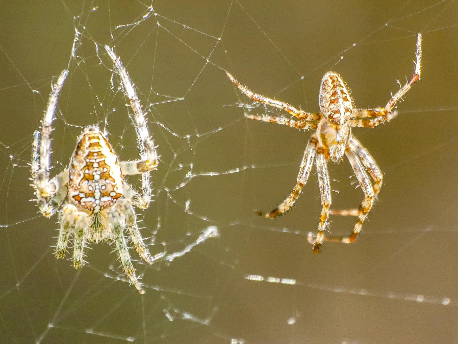 Zwei Kreuzspinnen im Netz.