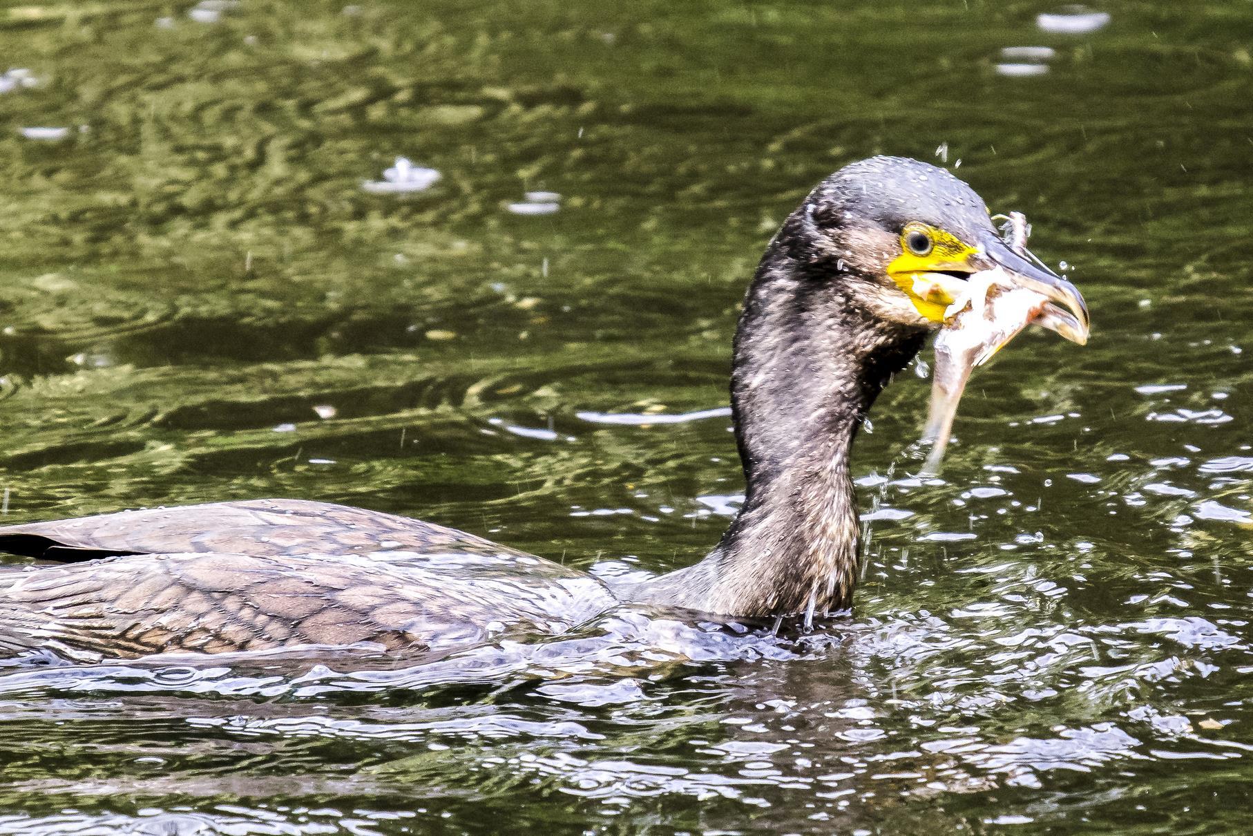 Ein Kormoran mit einem Fisch im Schnabel.
