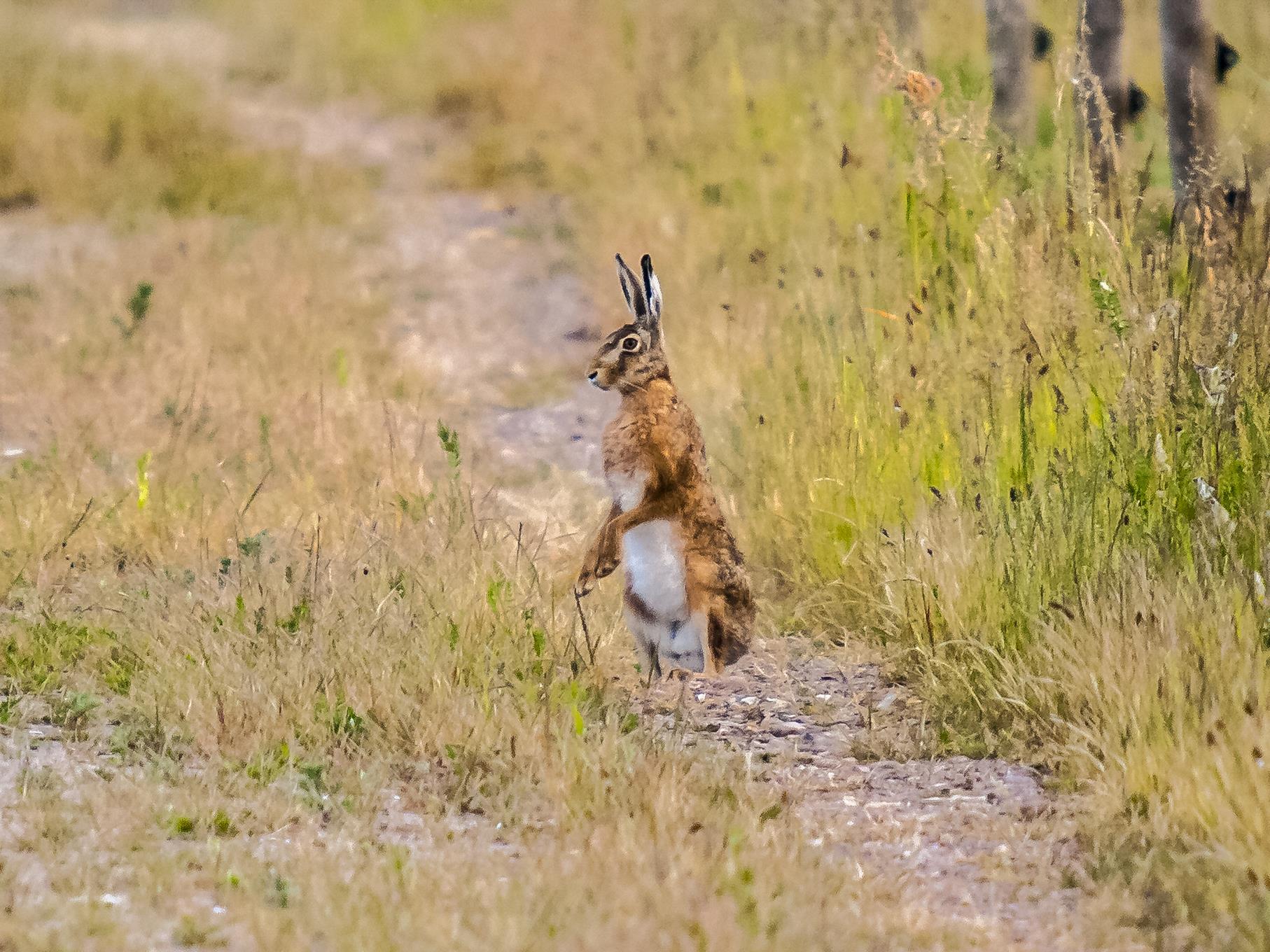 In der Nähe des Stichweges können oft Hasen beobachtet werden.